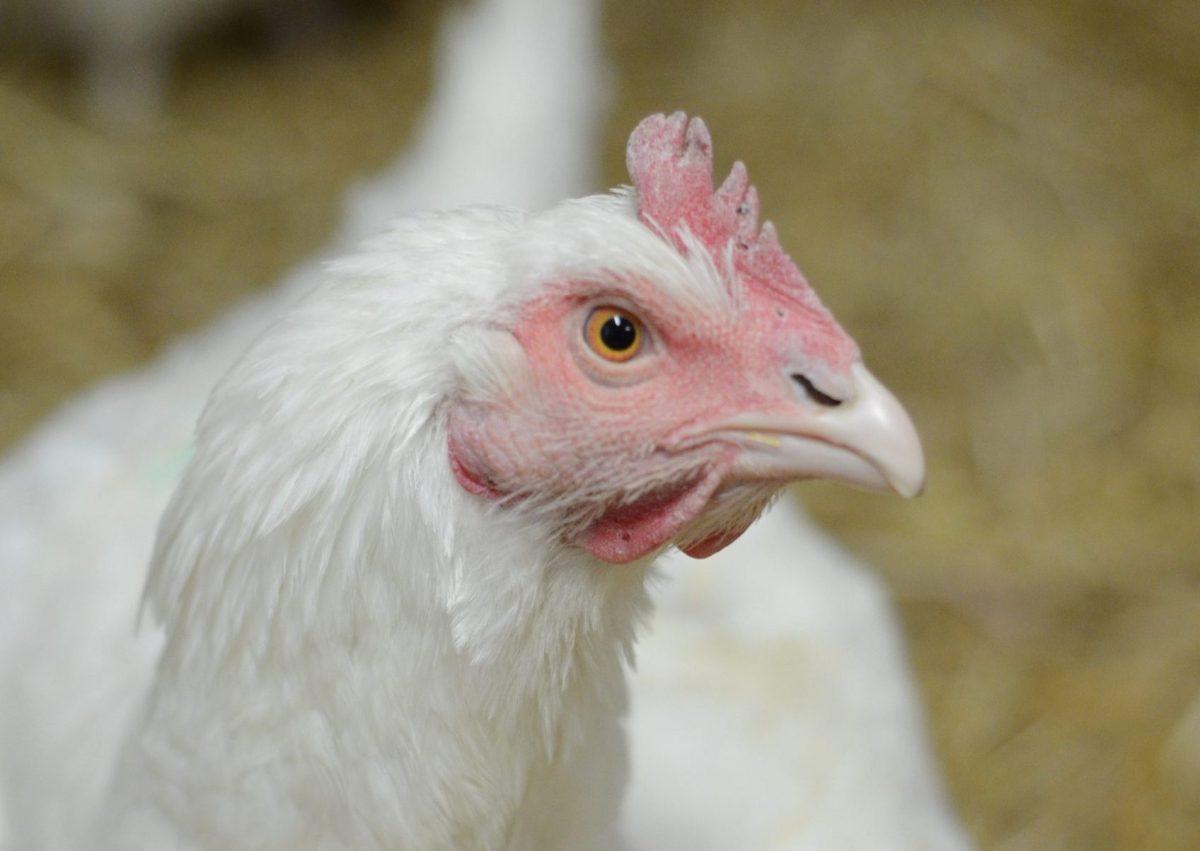 Avalon hen at Farm Sanctuary