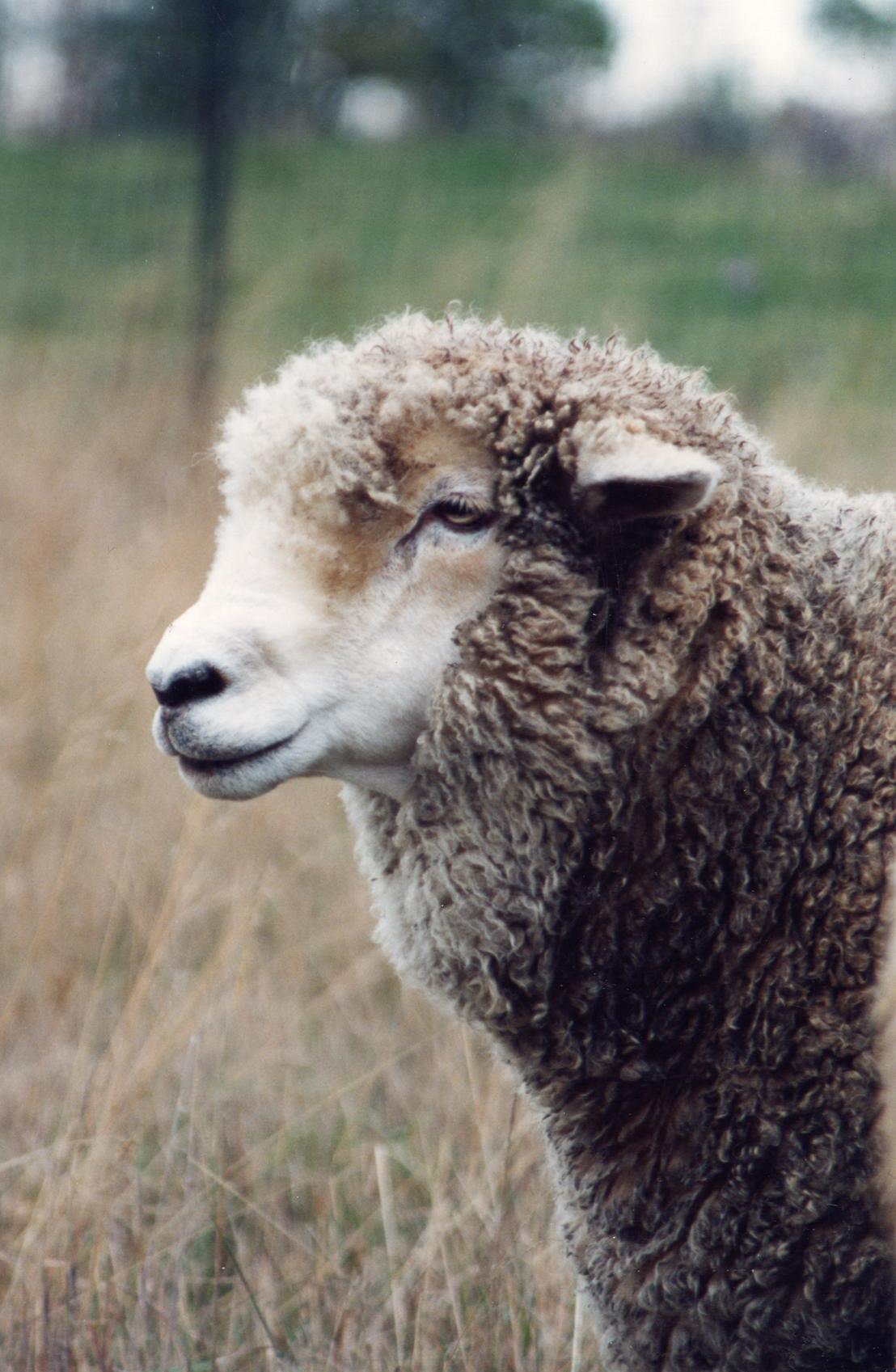 Hilda Sheep at Farm Sanctuary