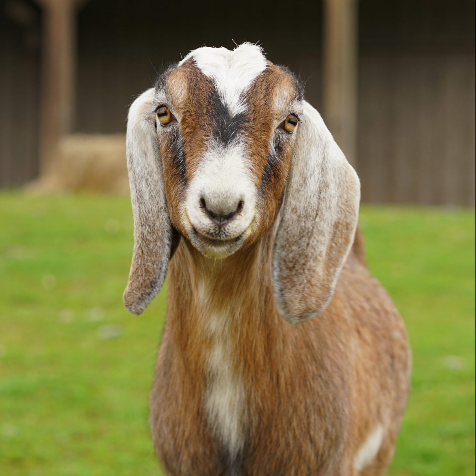 Maurice goat at Farm Sanctuary