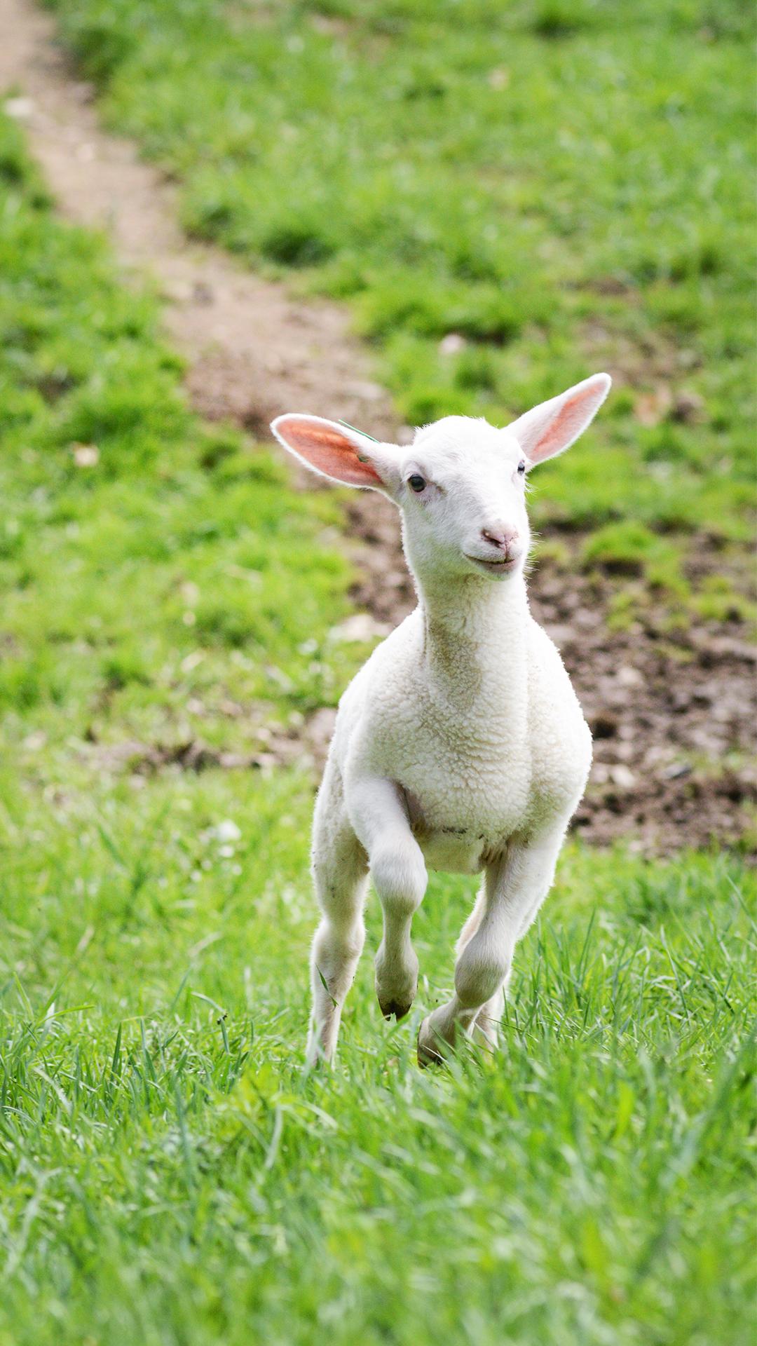 Frankie lamb running through fields at Farm Sanctuary