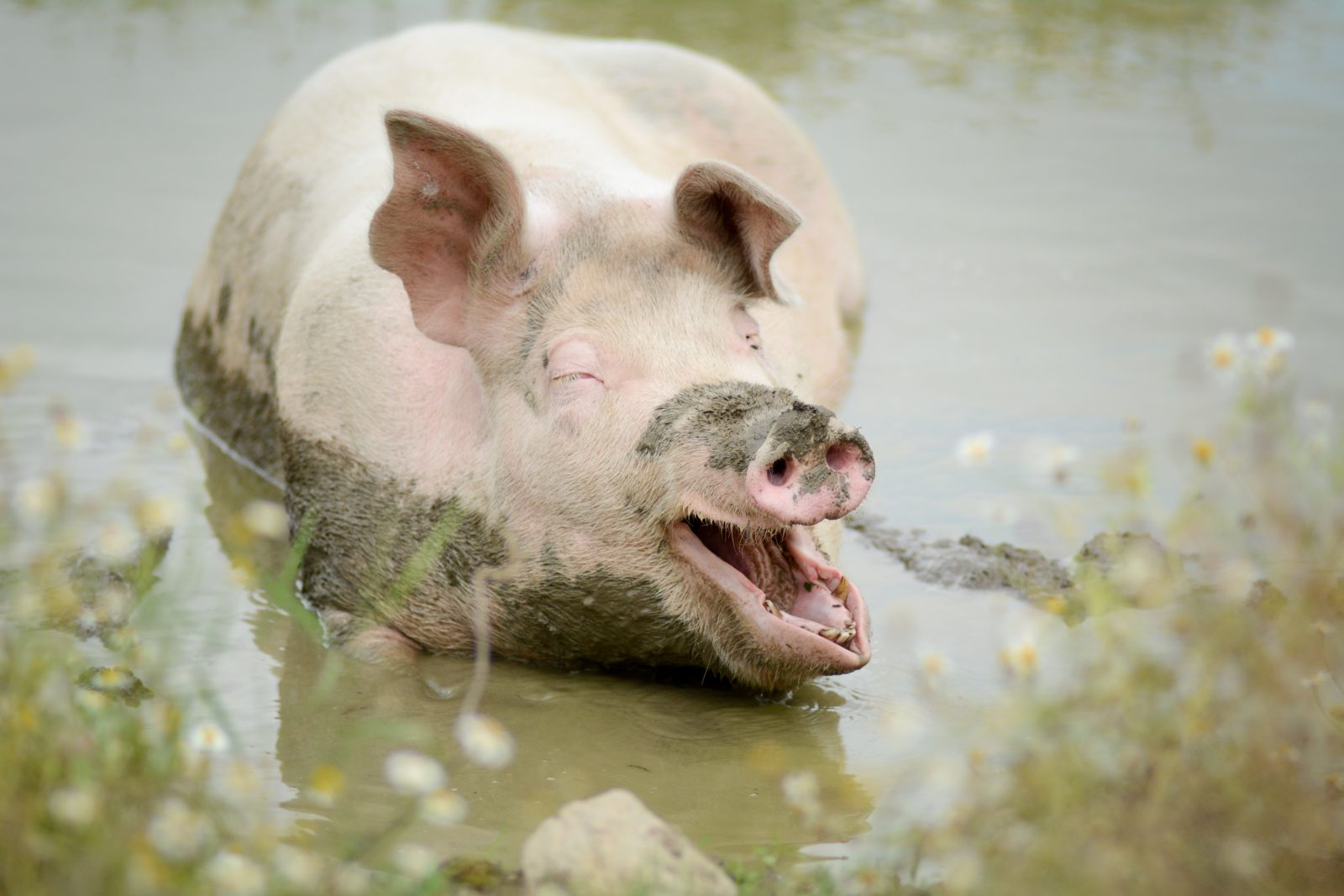 Mia pig in the mud at Farm Sanctuary