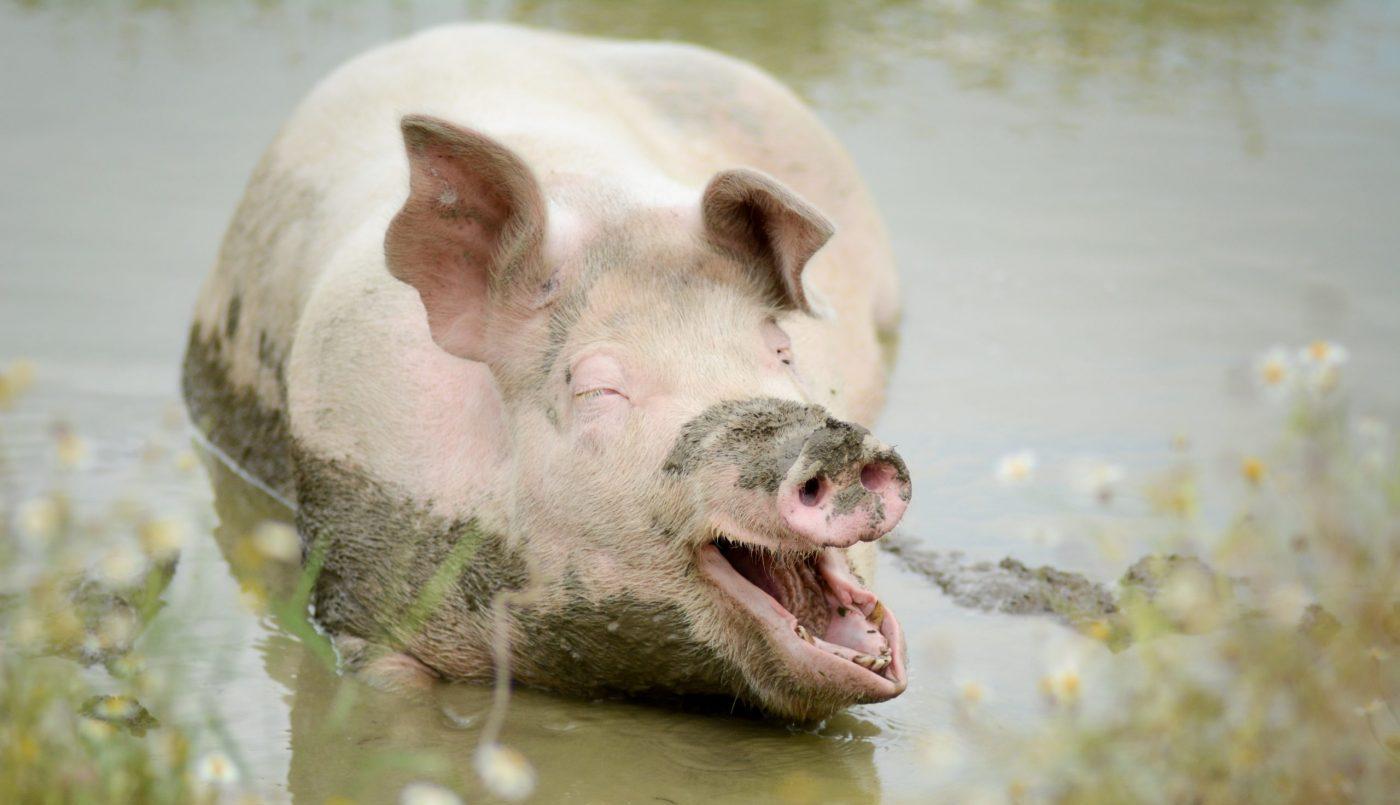 Mia pig in the mud at Farm Sanctuary