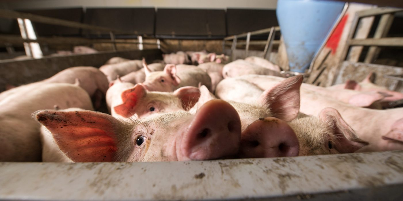 A group of pigs at a farm looks over a railing