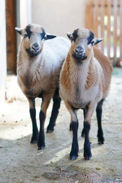 Josie and Maple at Farm Sanctuary