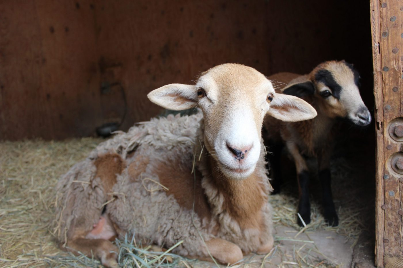 Katie sheep mother and Maple lamb at Farm Sanctuary