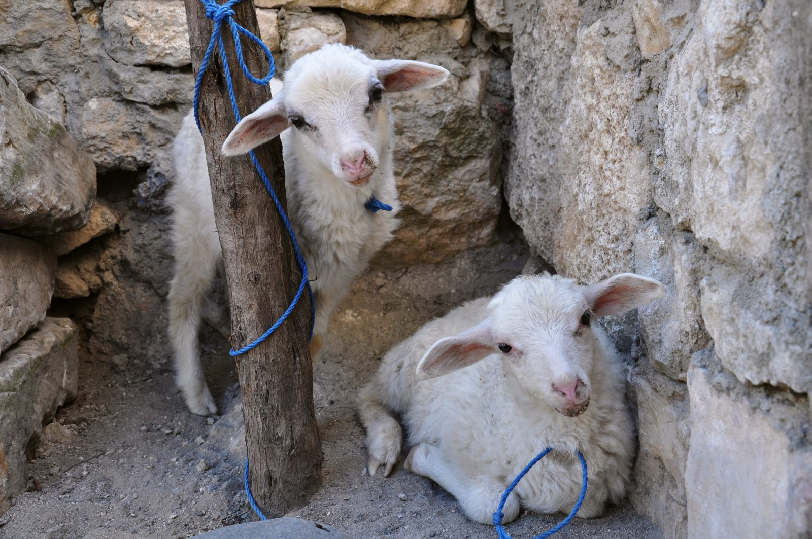 Two white sheep (lambs) tied to a pole near a stone wall waiting for slaughter