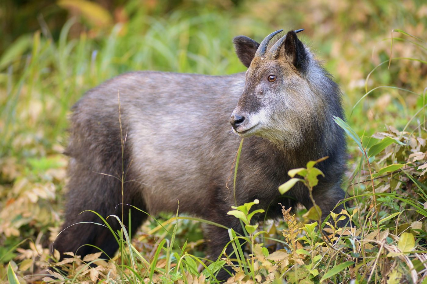 Japanese serow