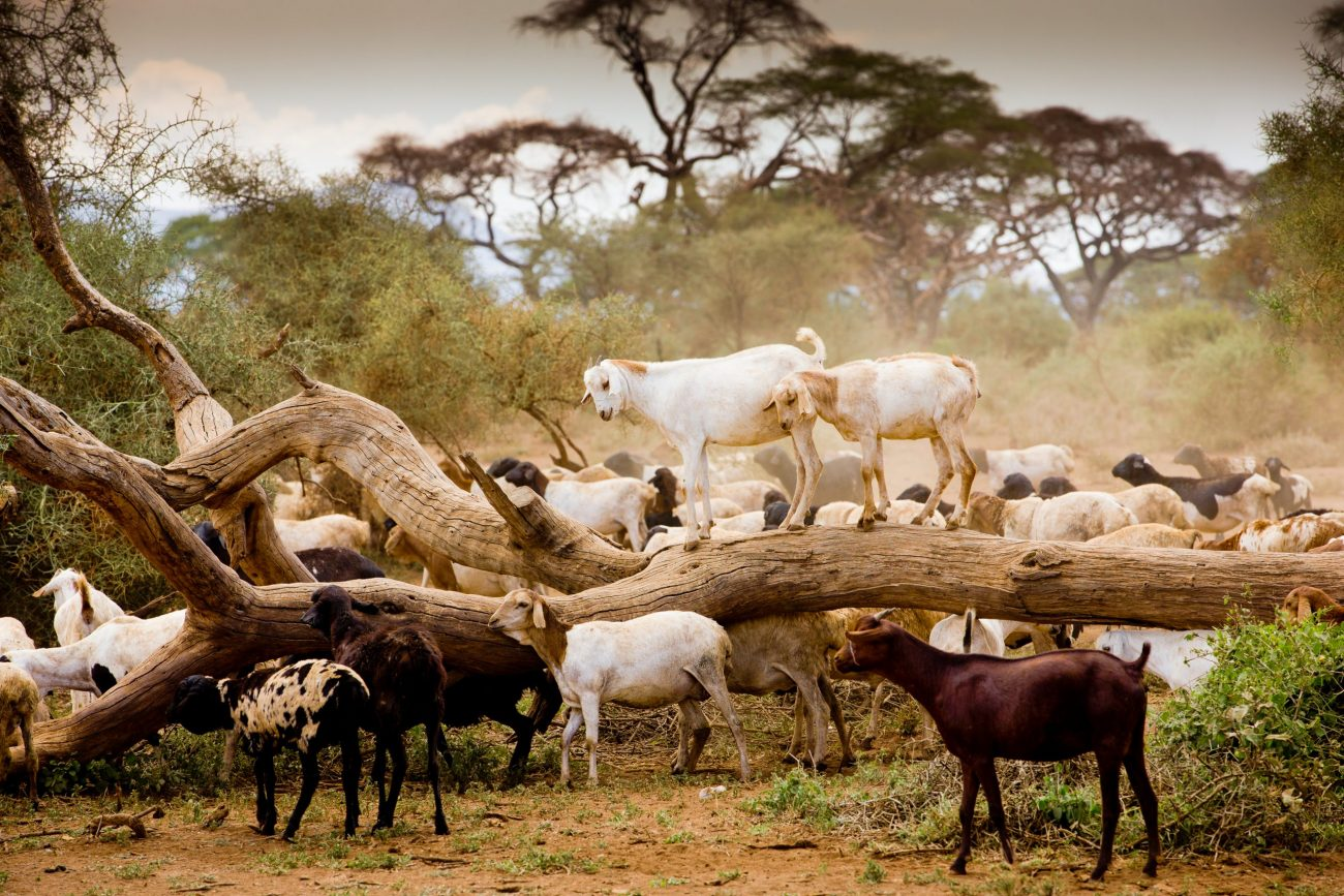 Goats in Africa