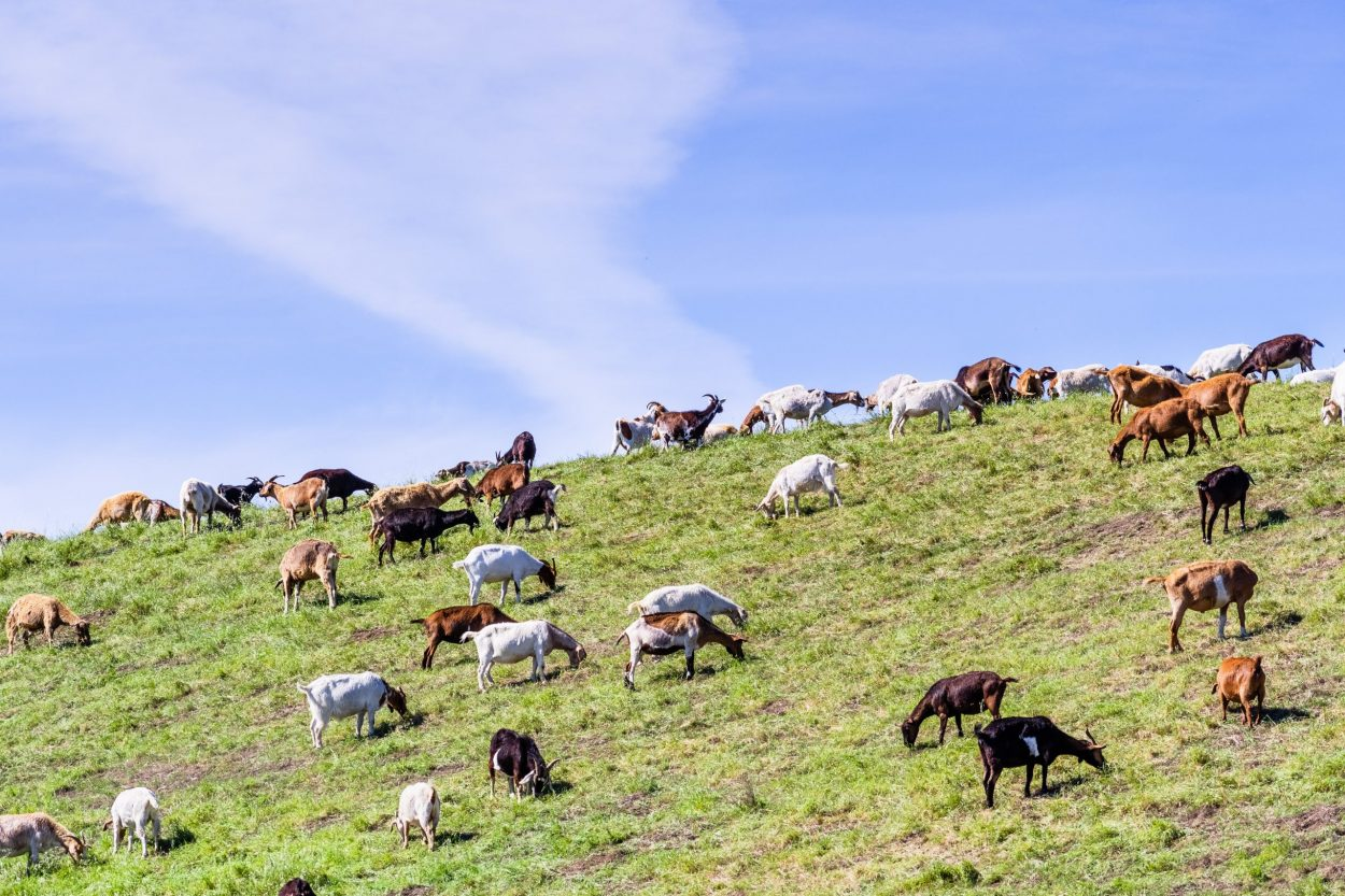 Herd of goats grazing on a hillside in Sunnyvale, South San Francisco Bay Area