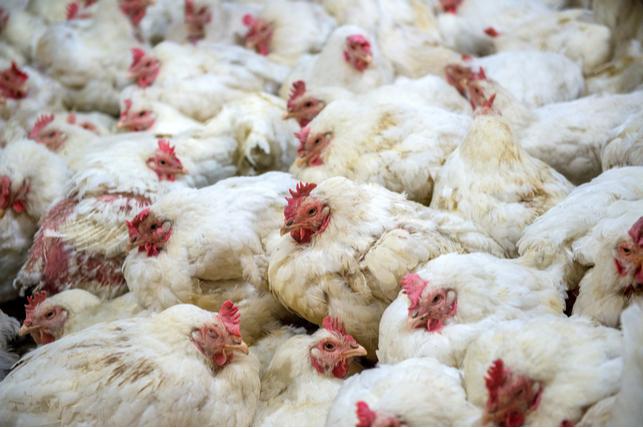 Vertical explainer photo 3 - Free-range chickens