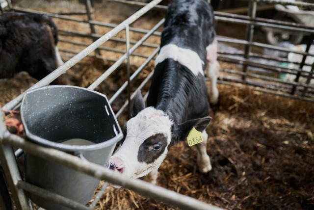 Vertical explainer photo 5 - Calf in pen