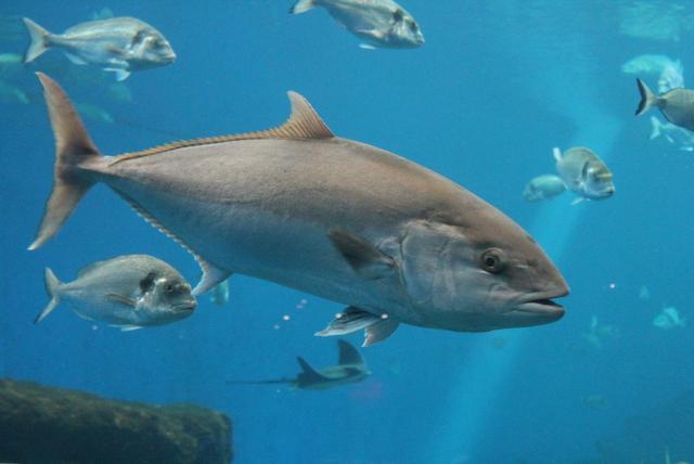 Vertical explainer photo 1 - tuna fish swimming underwater