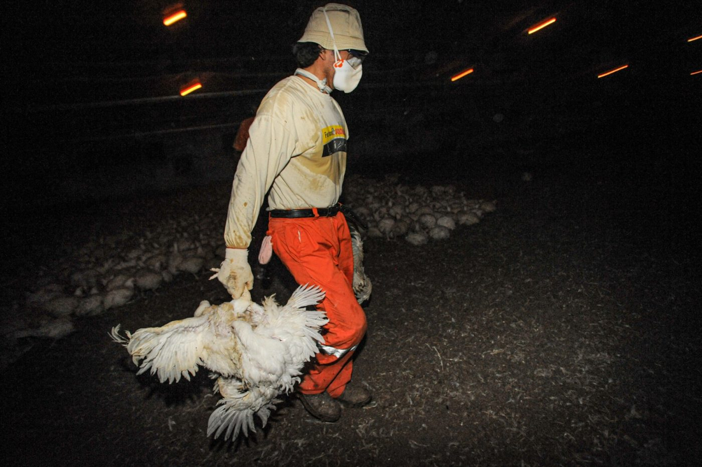 Vertical explainer photo 3 - Broiler chickens being collected for slaughter.