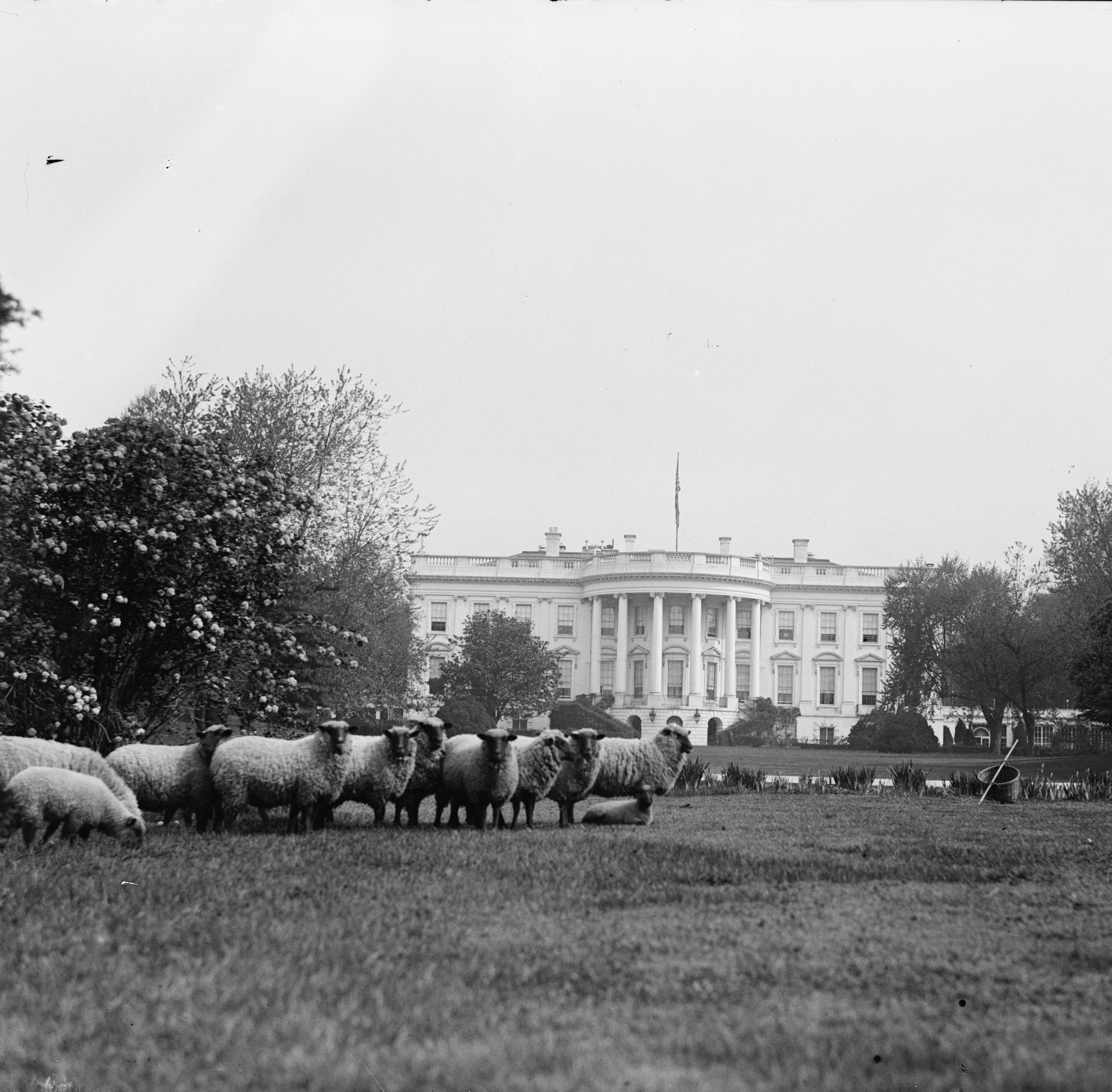Sheep on lawn of White House