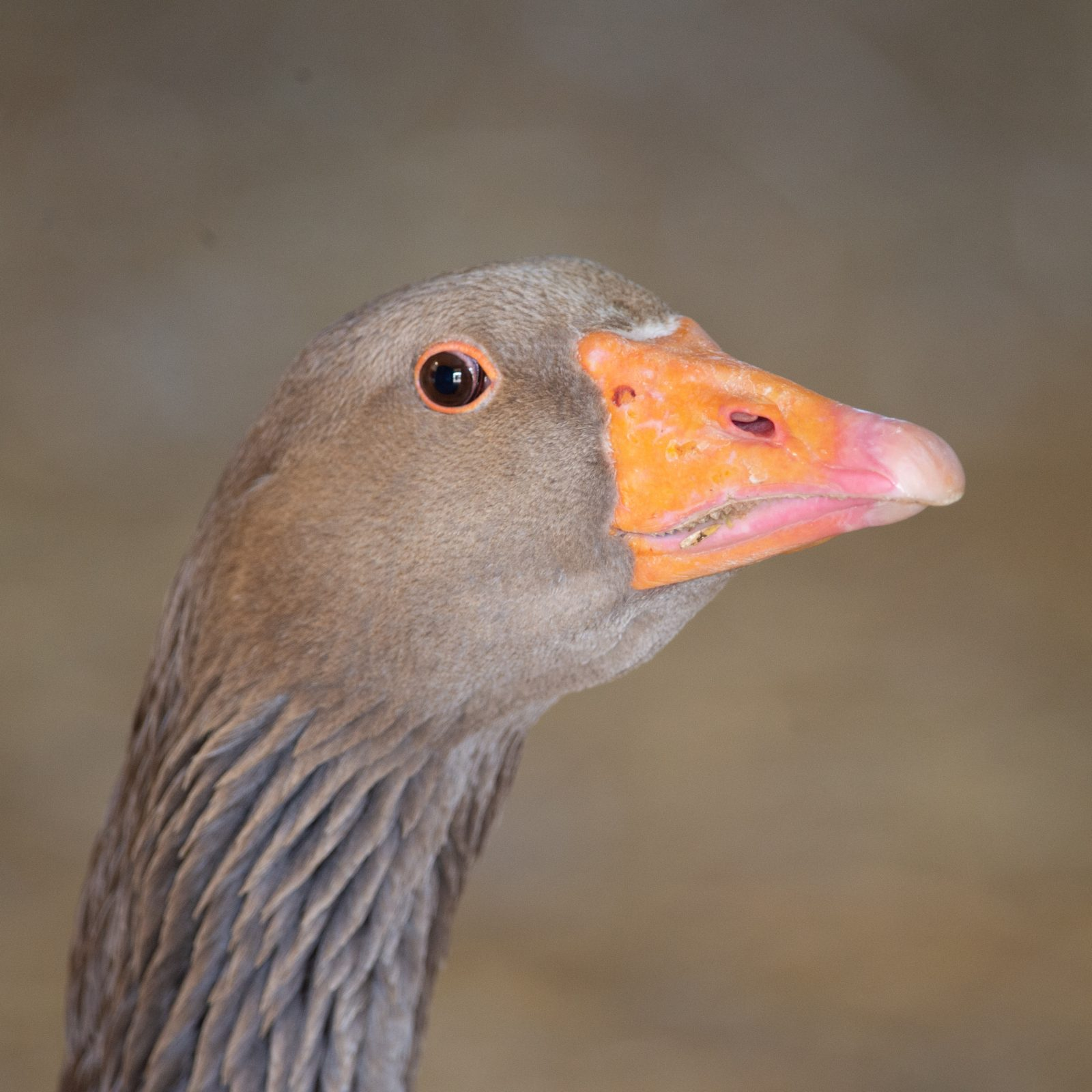 Willie Goose at Farm Sanctuary