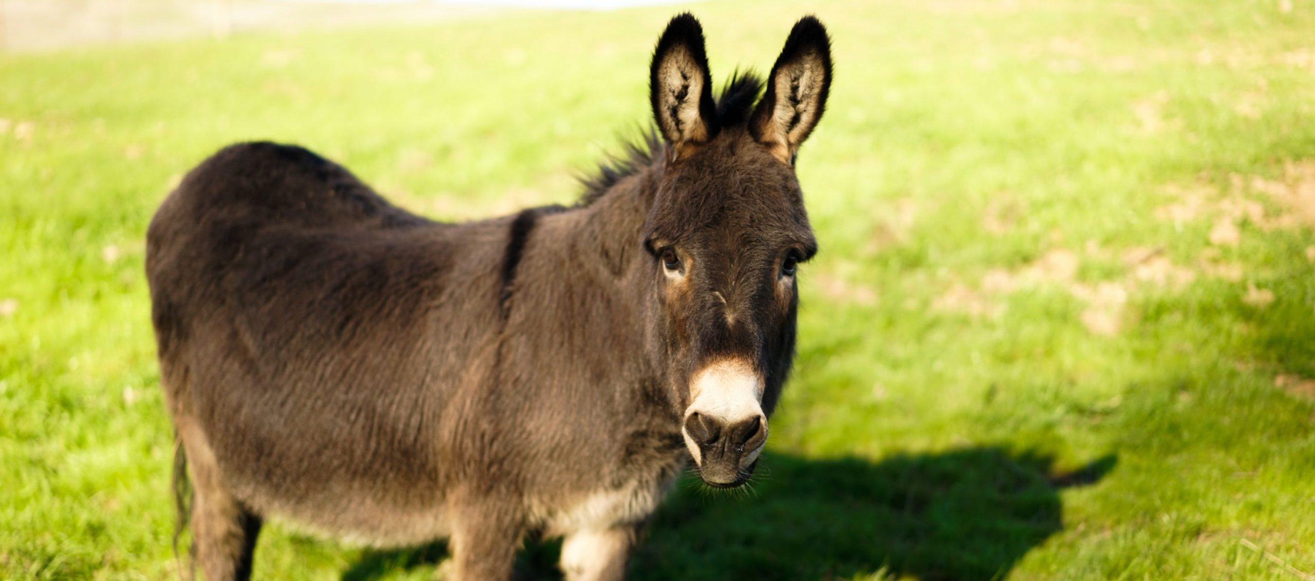 Albert donkey at Farm Sanctuary