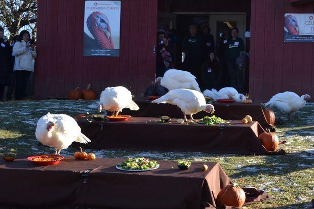 Turkeys at Farm Sanctuary Celebration for the Turkeys