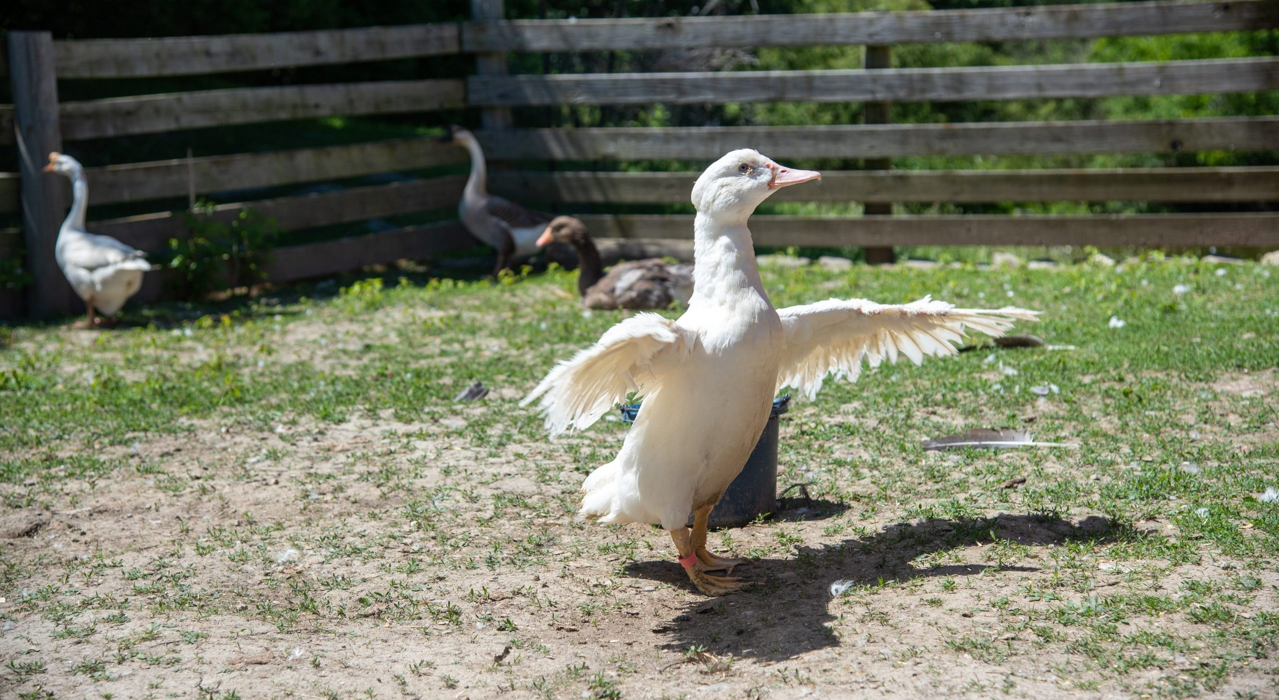 Carrie Duck at Farm Sanctuary's New York shelter