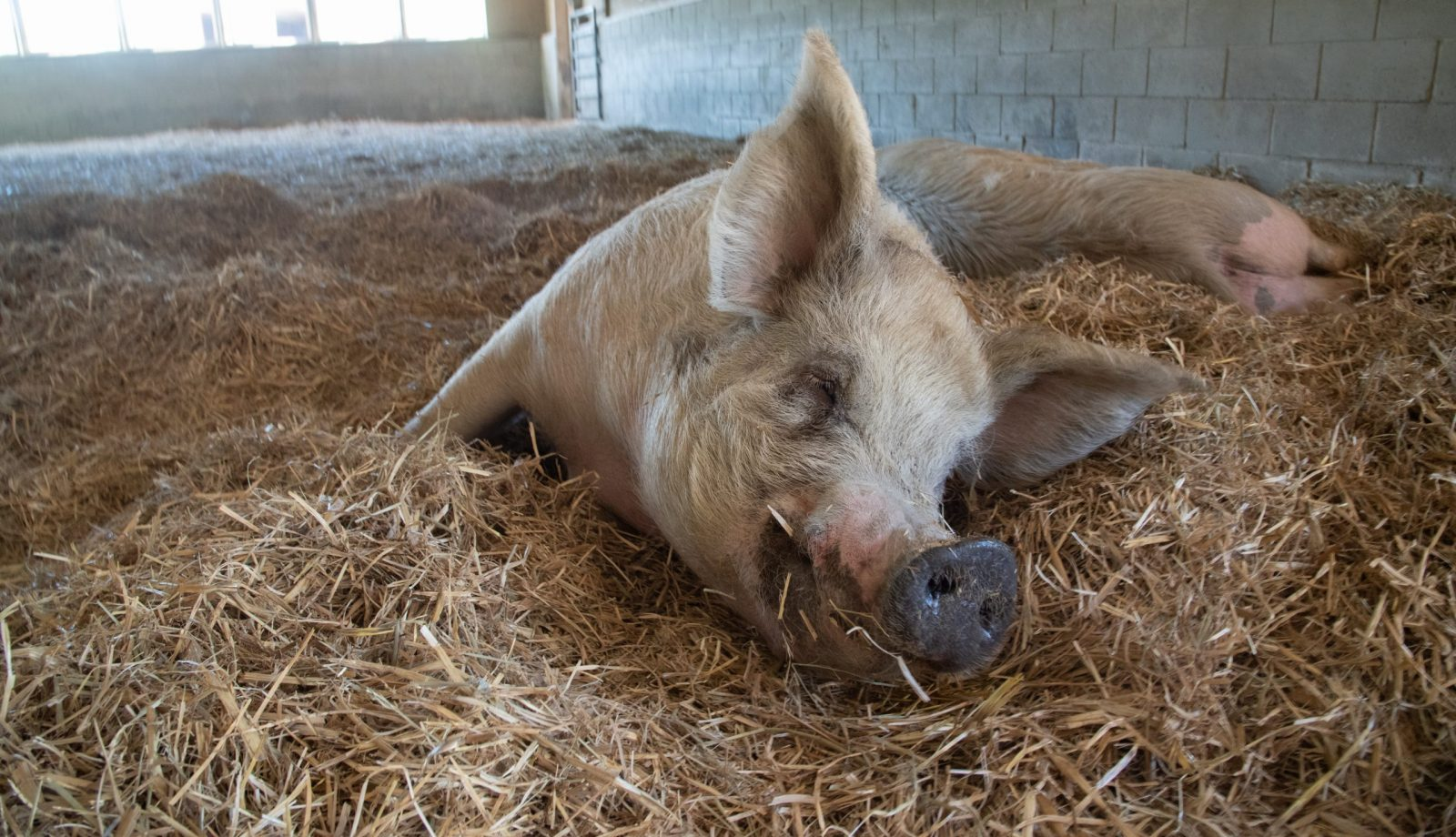 Maggie Pig at Farm Sanctuary's New York shelter