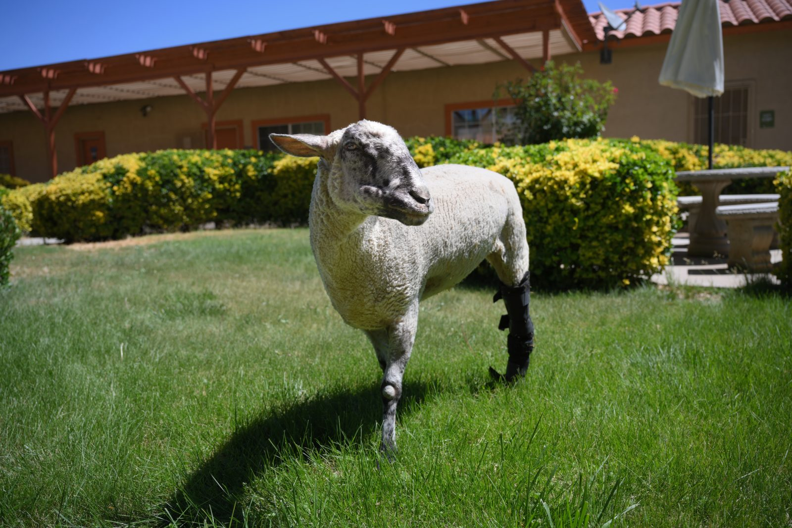 Regina Sheep at Farm Sanctuary's Southern California shelter