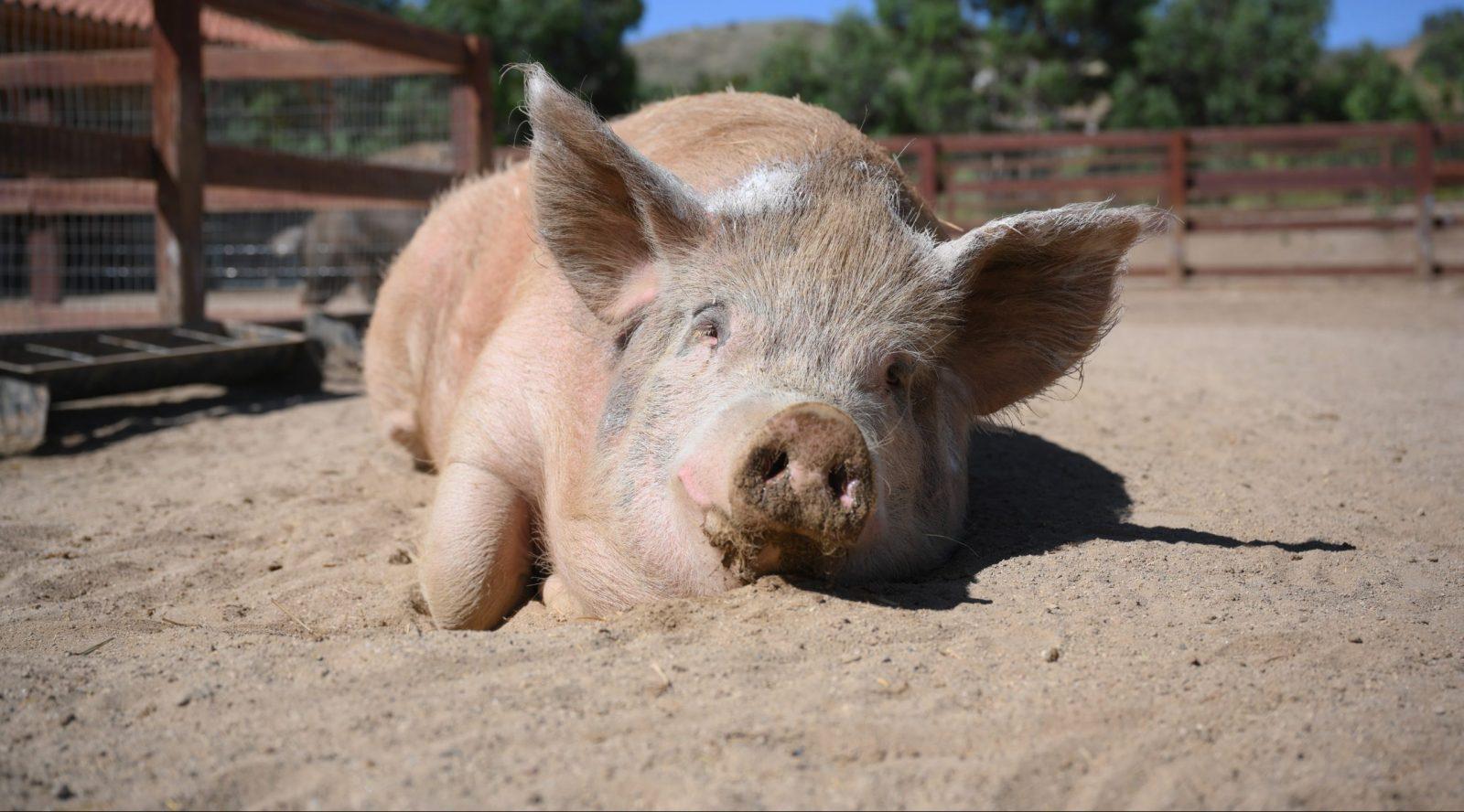Von D Pig at Farm Sanctuary's Southern California shelter