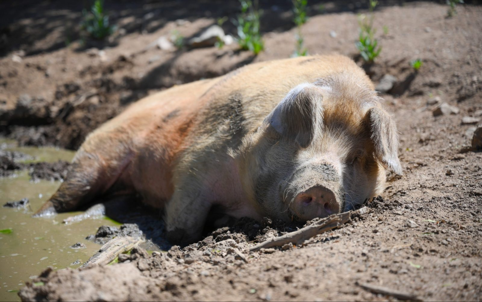 Junip Sydney at Farm Sanctuary's Southern California shelter