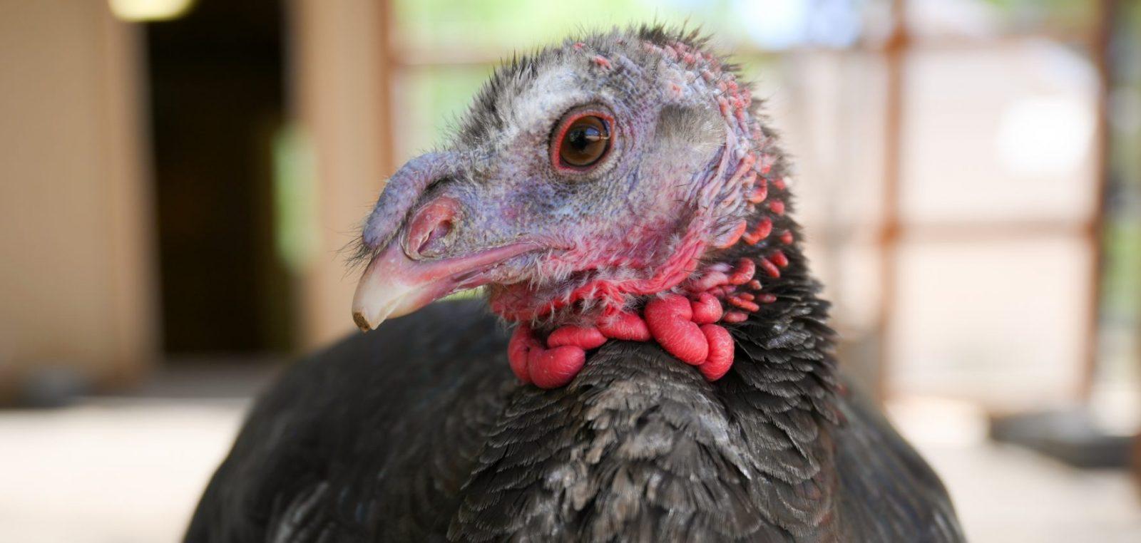 Serena Turkey at Farm Sanctuary's Southern California shelter