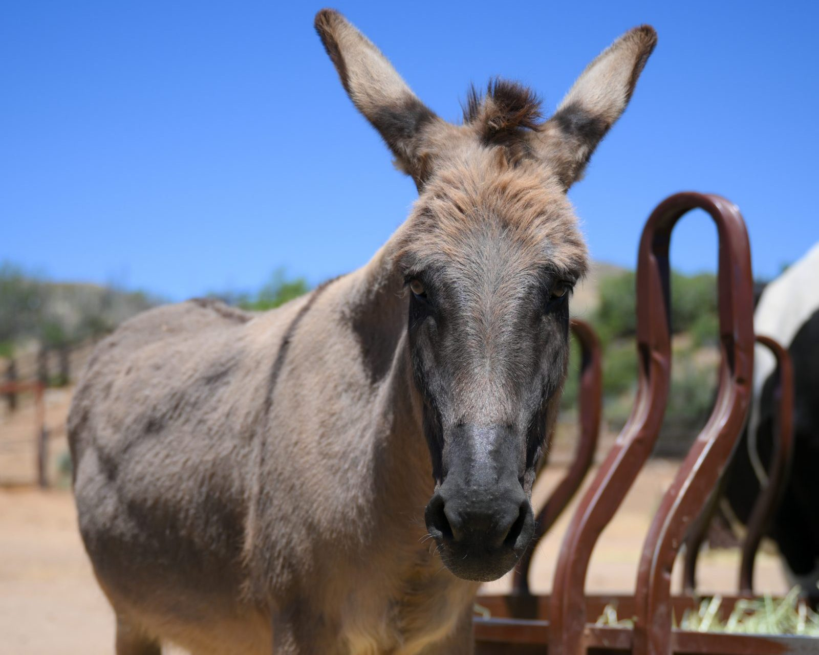 Dorado Donkey at Farm Sanctuary's Southern California shelter