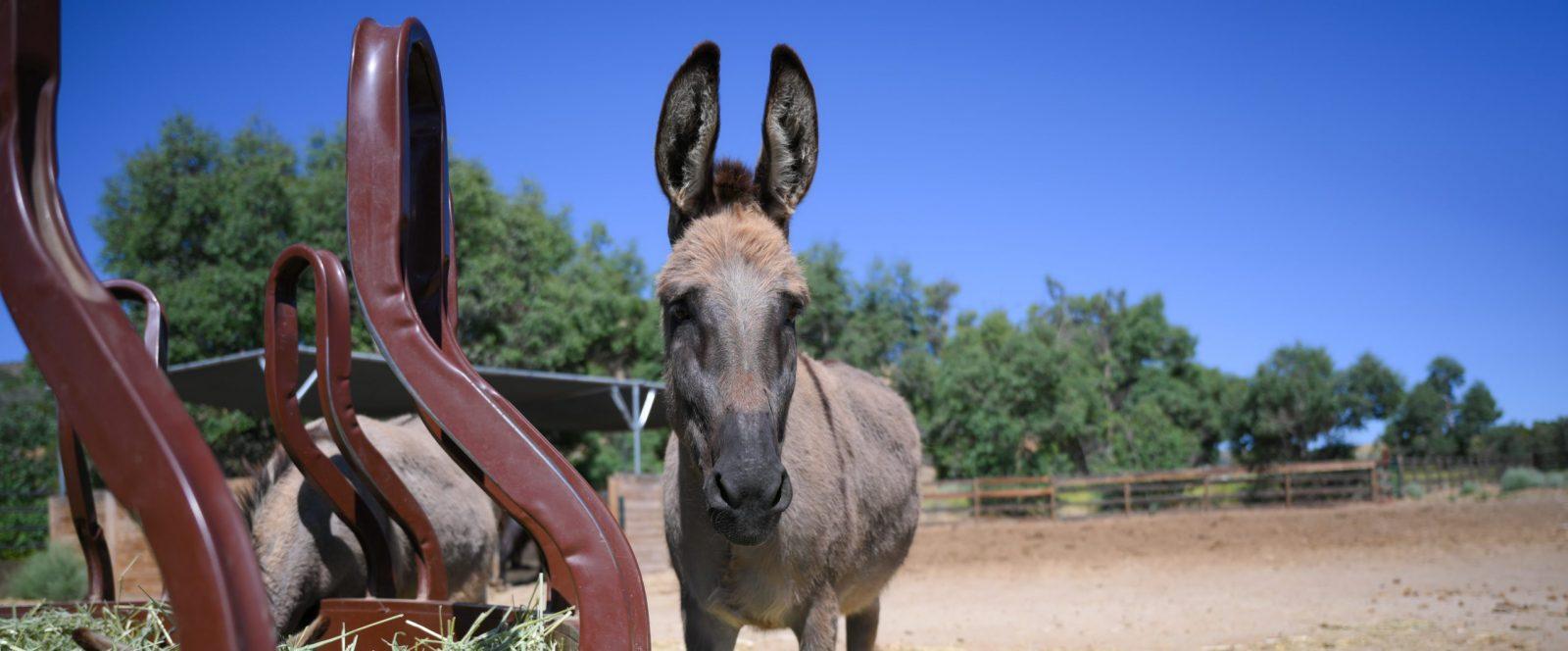 Dorado Donkey at Farm Sanctuary's Southern California shelter
