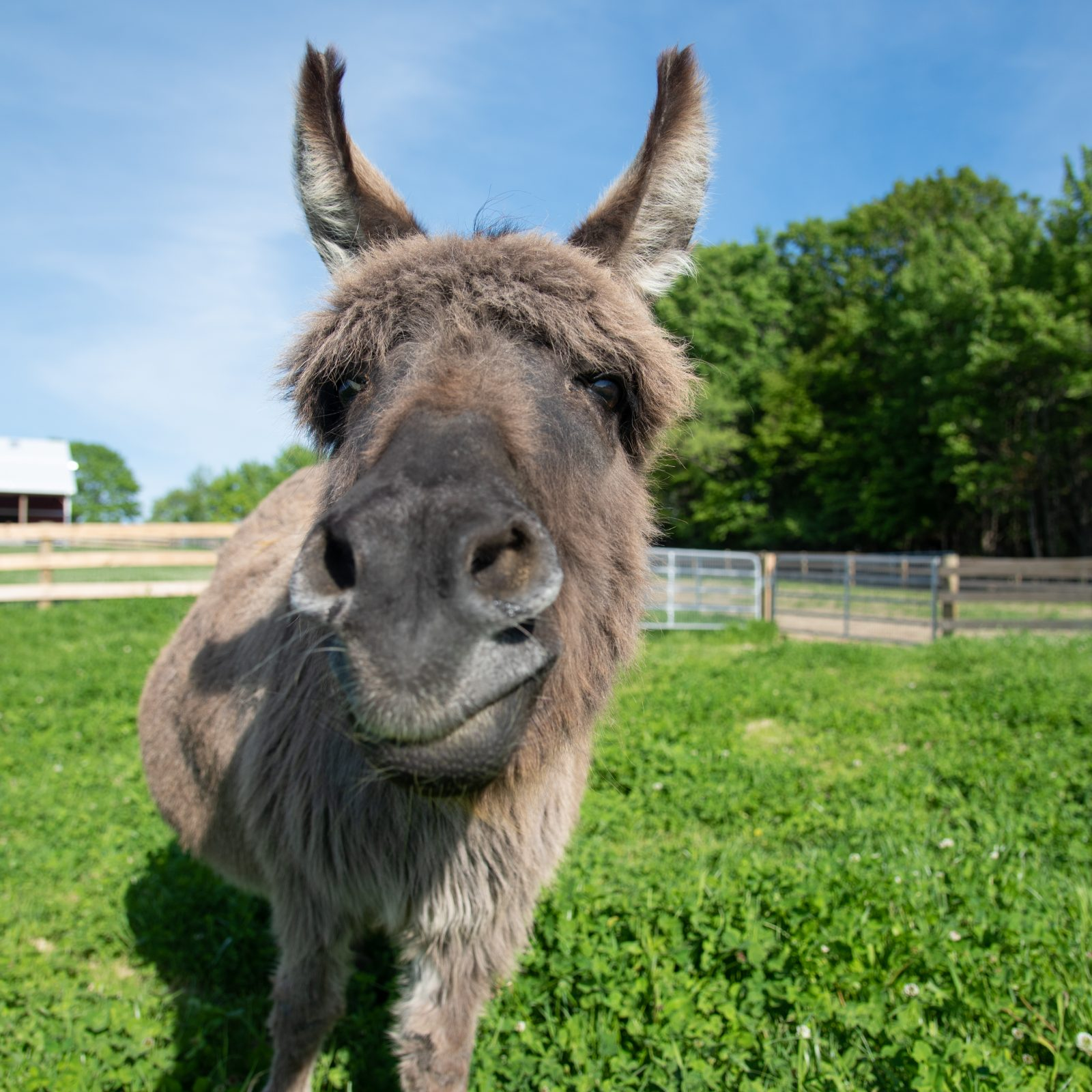 MJ Donkey at Farm Sanctuary's New York shelter