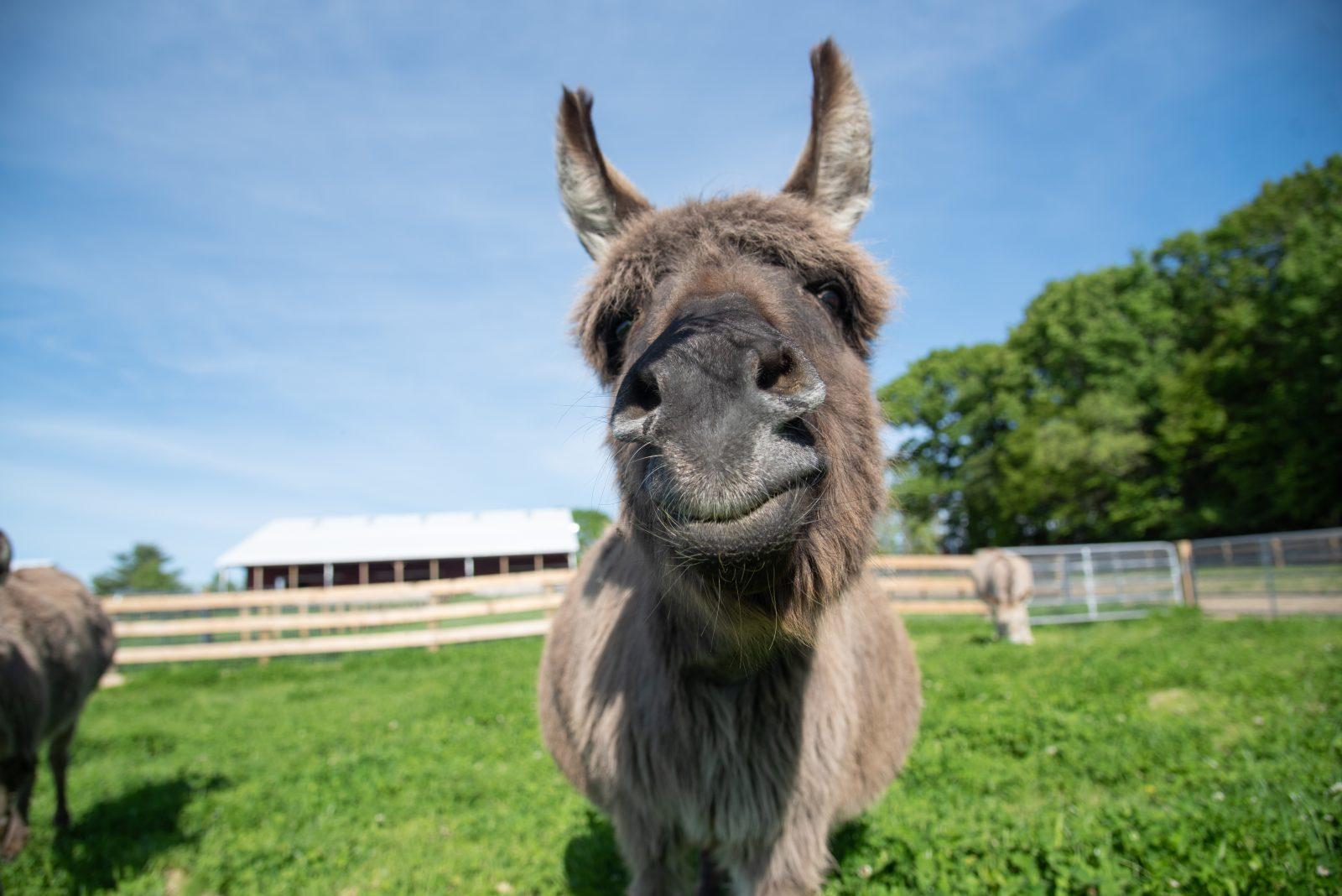 MJ Donkey at Farm Sanctuary's New York shelter