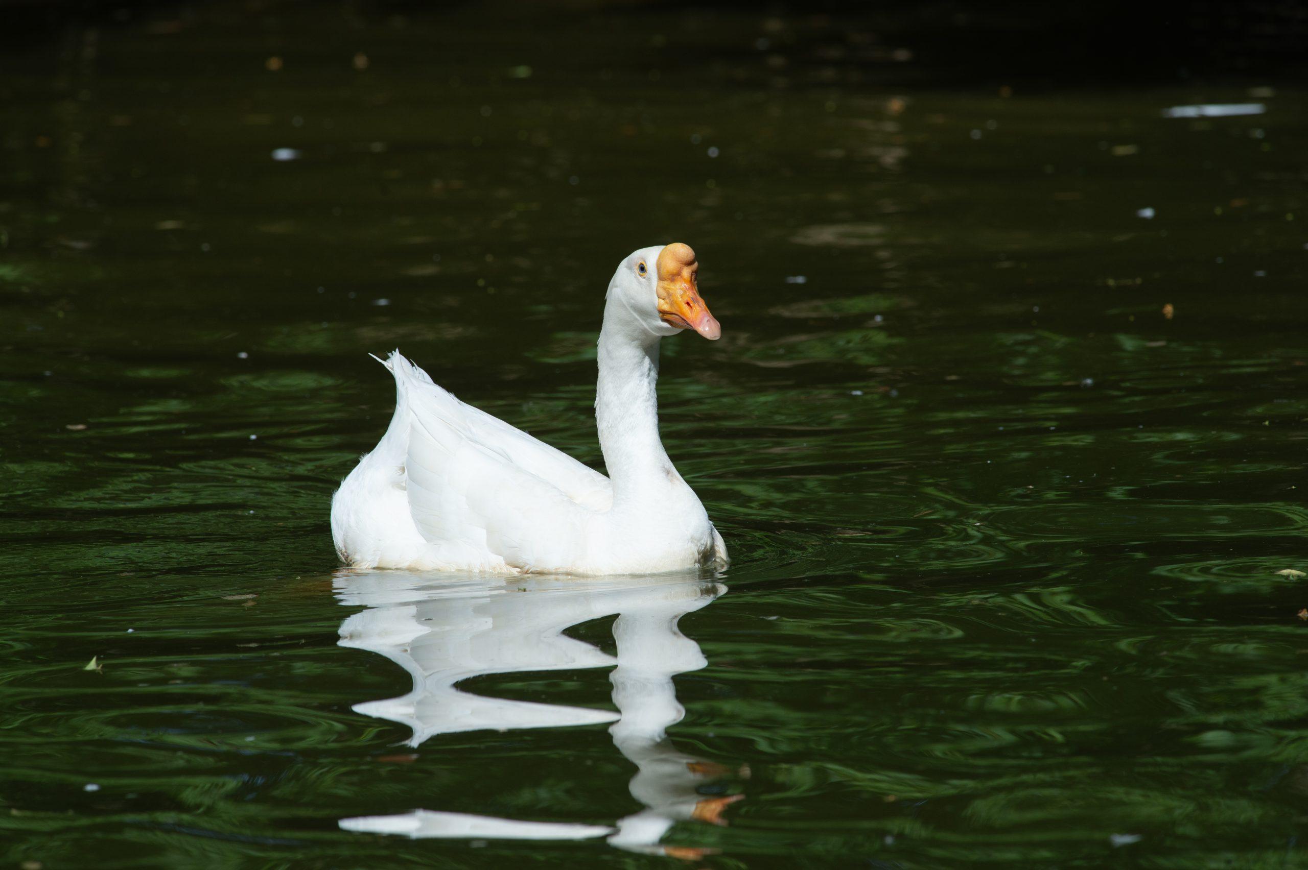 Thatcher Goose at Farm Sanctuary's New York shelter