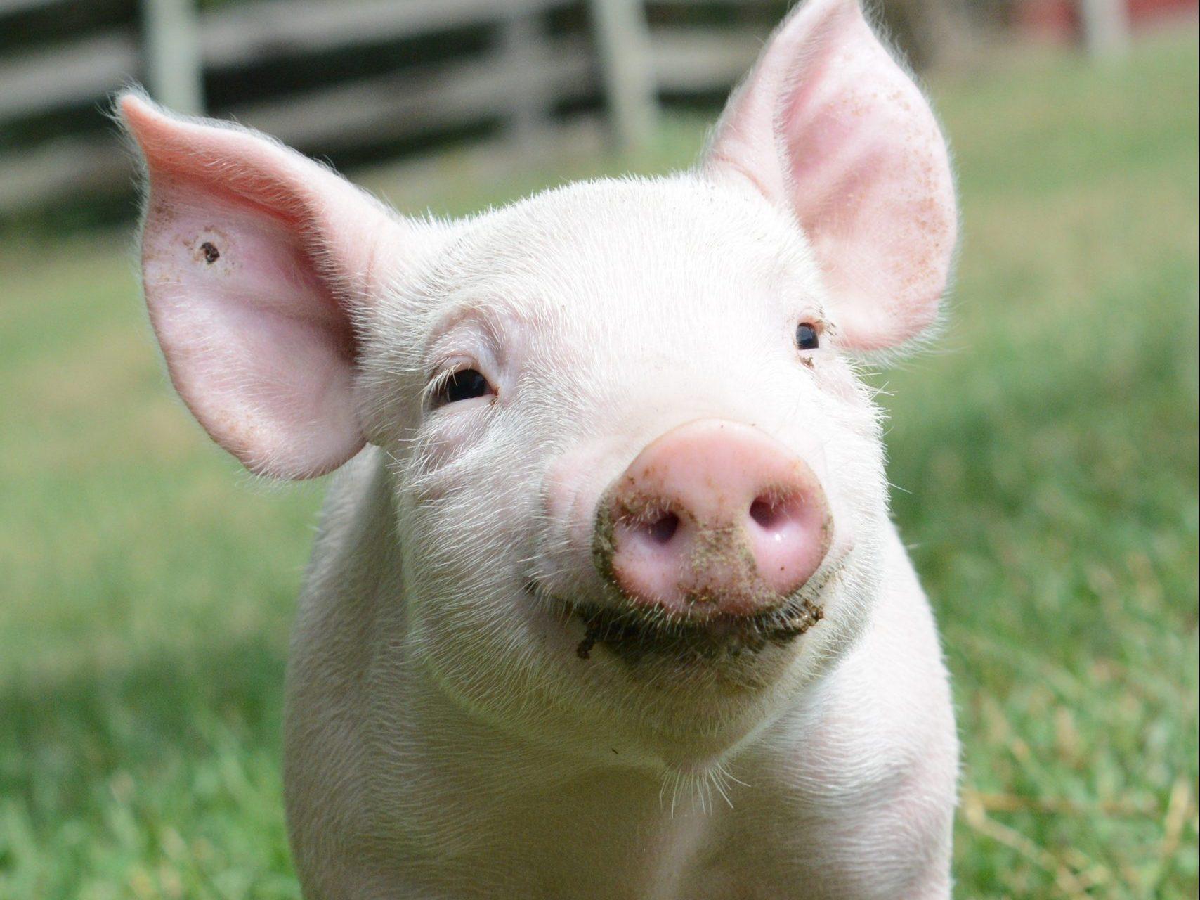 Cameron Piglet at Farm Sanctuary