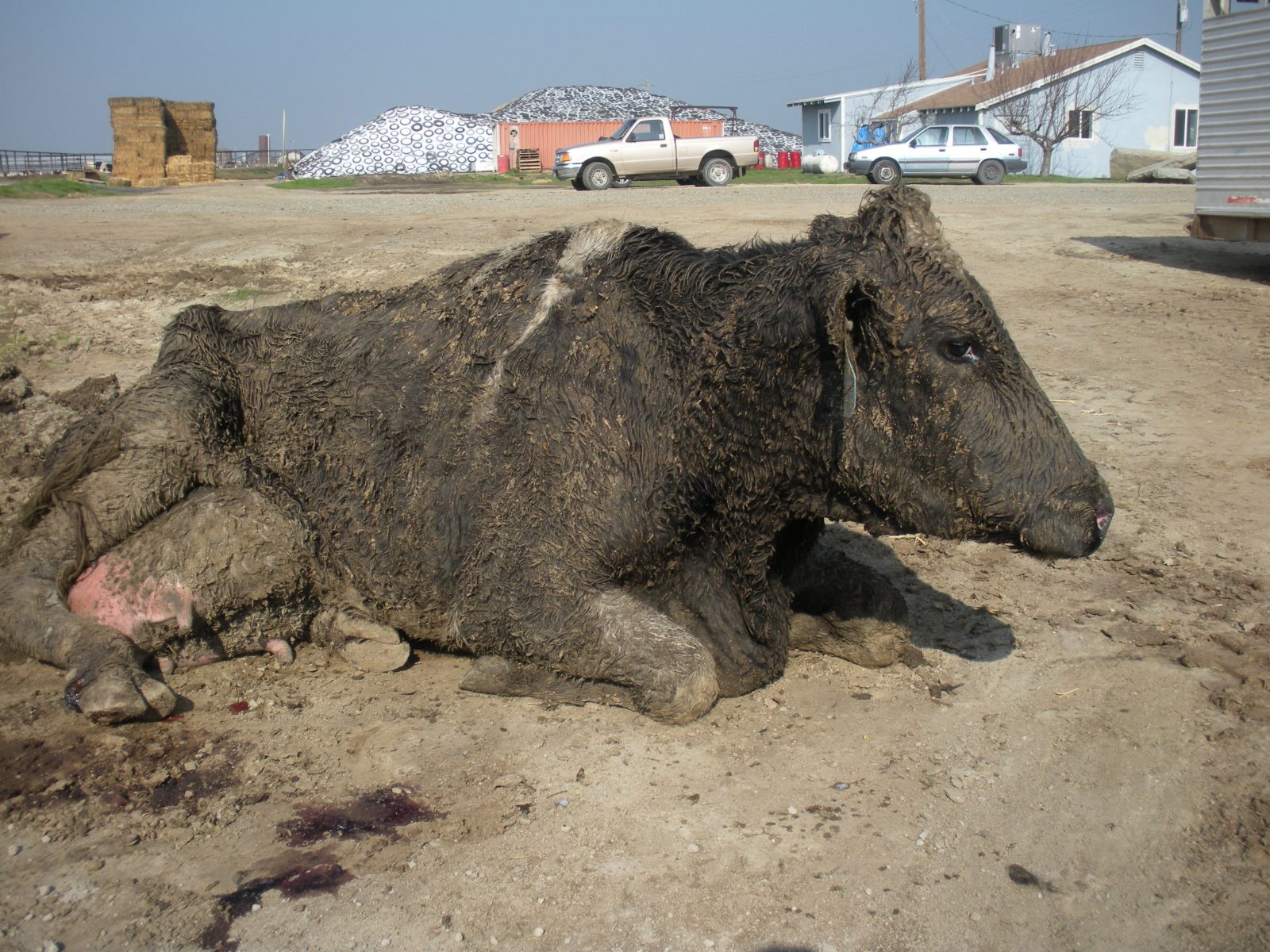 A downed cow in California.