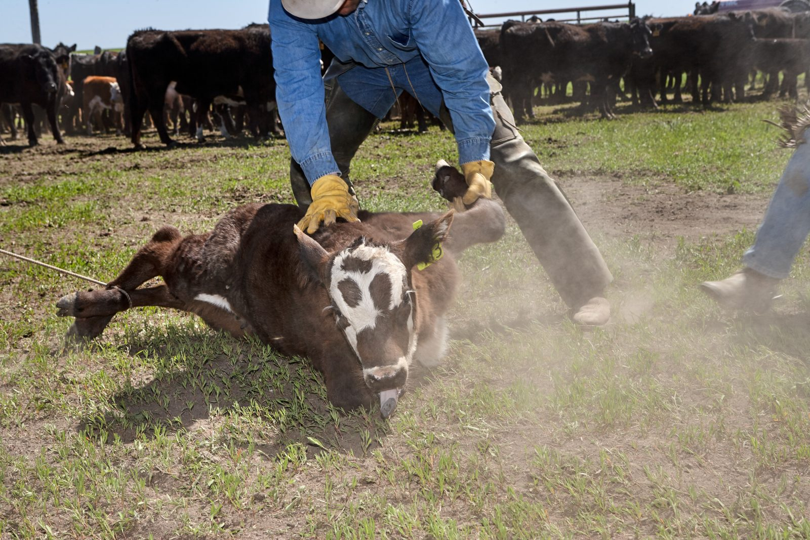 Cowboy roping a young calf for branding and castration.