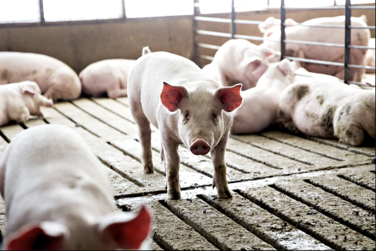 Three-month-old pigs in Iowa in 2018. (Daniel Acker/Bloomberg News).