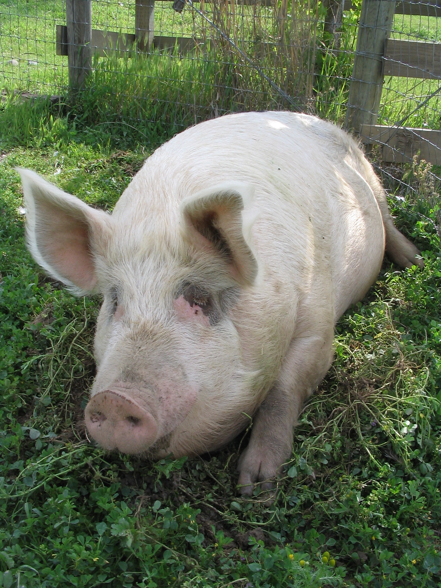 Lil' Bud pig, rescued in the 2012 Cattaraugus rescue.