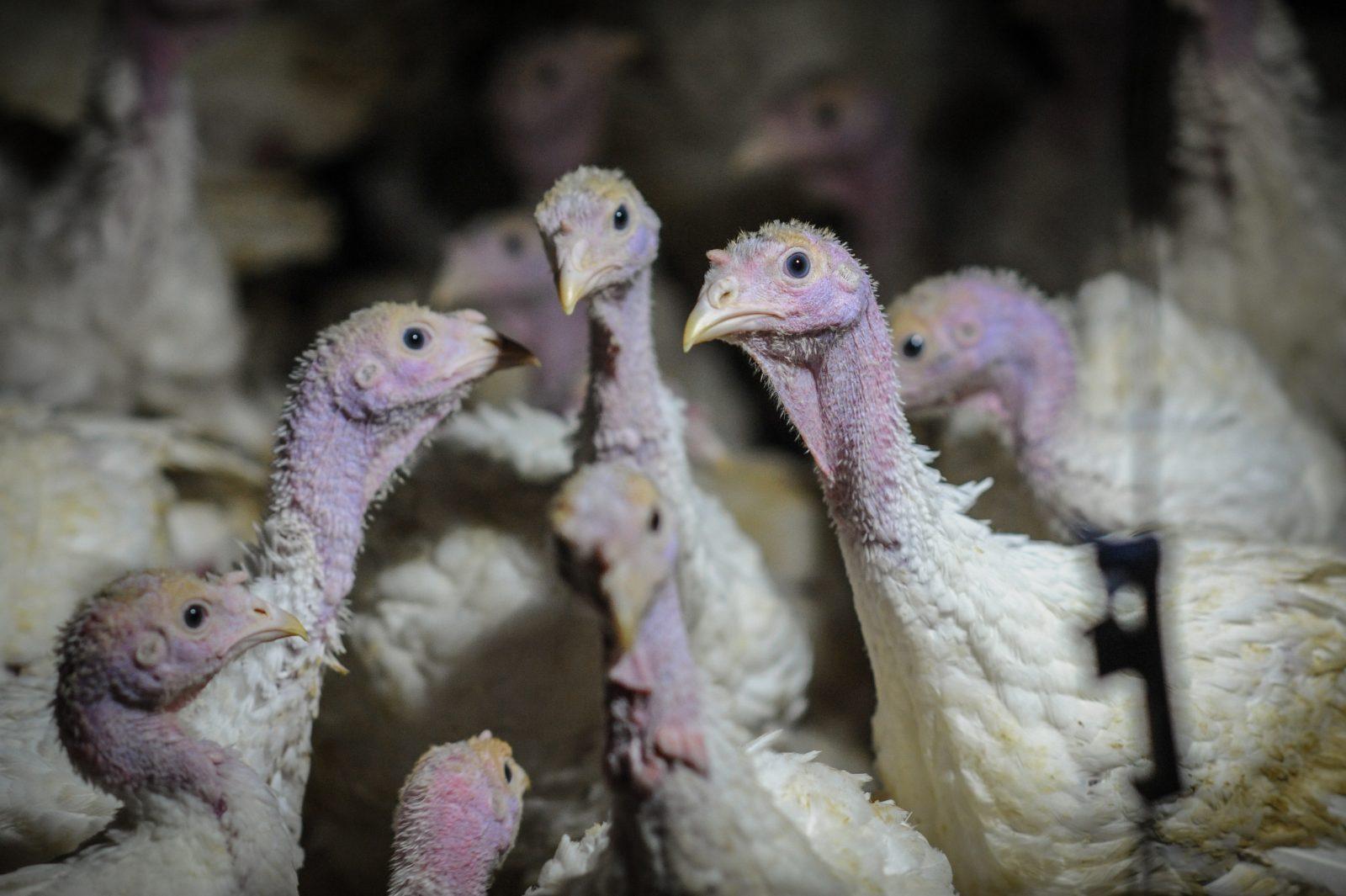 Factory farmed turkeys. Photo: Jo-Anne McArthur / Djurrattsalliansen