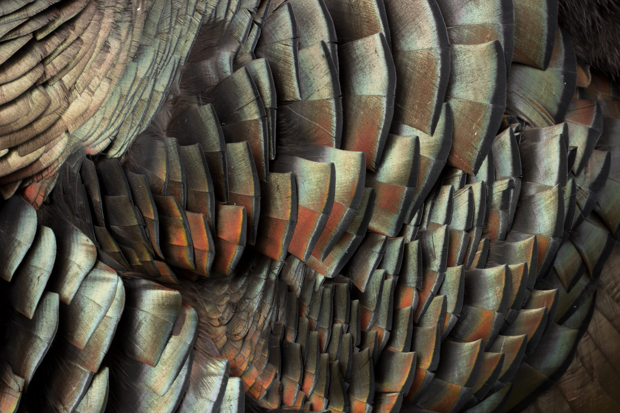 Turkey feathers displaying colors. Photo: nbiebach/shutterstock.com