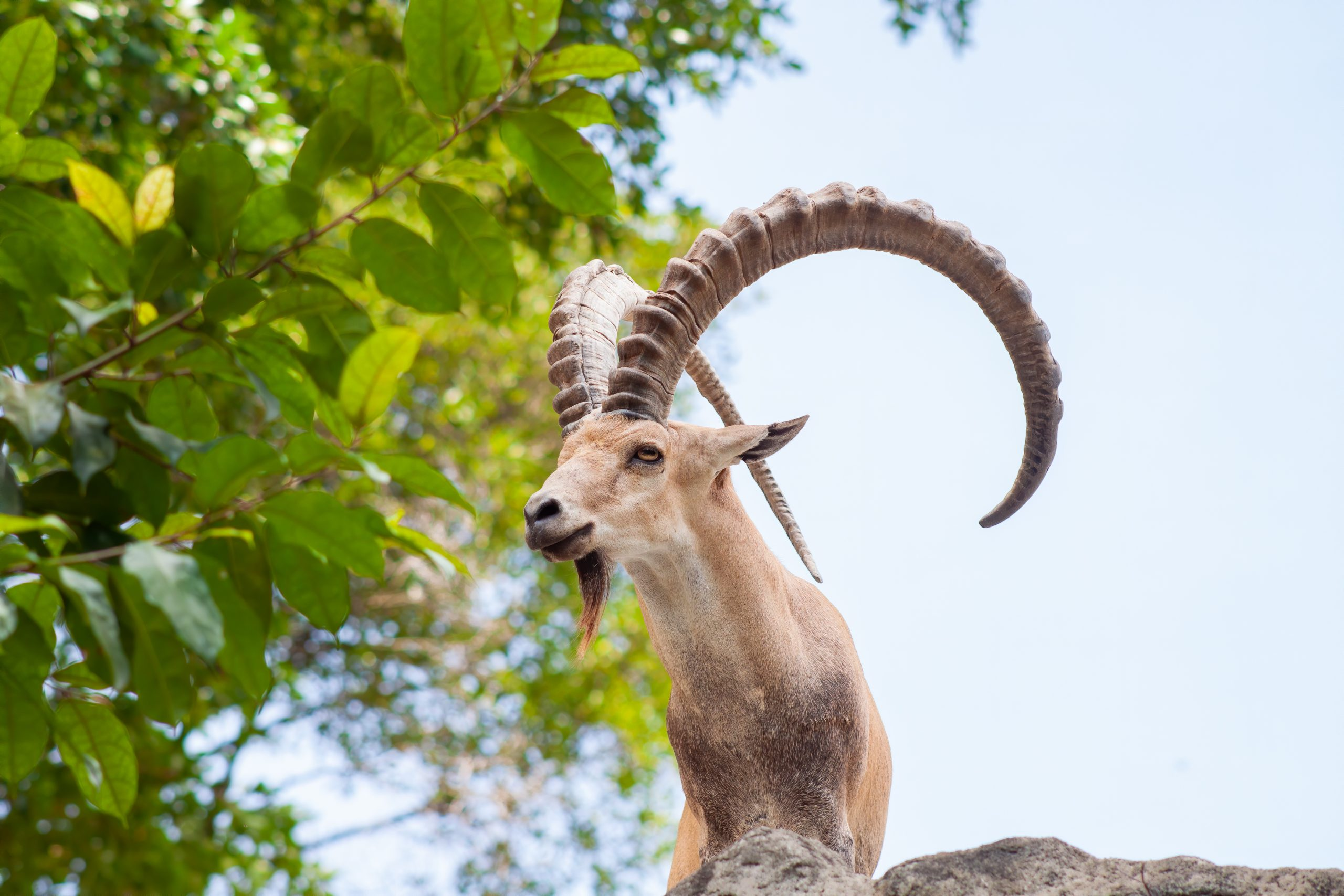 Male Ibex on a cliff showing side profile and full large horns and beard against blue sky.