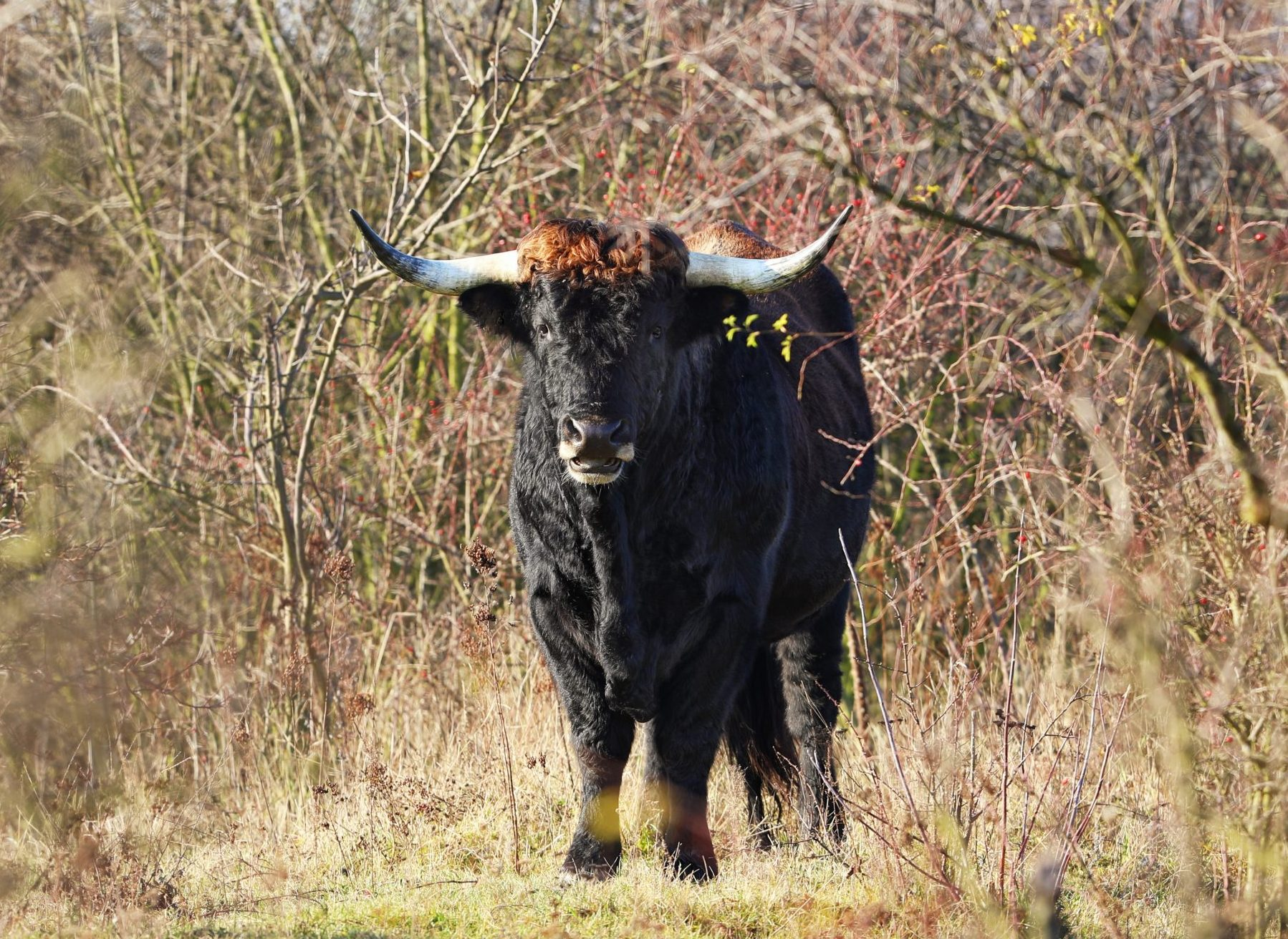 Tauros Programme started ecological restoration and rewilding of Aurochs - Bos primigenius