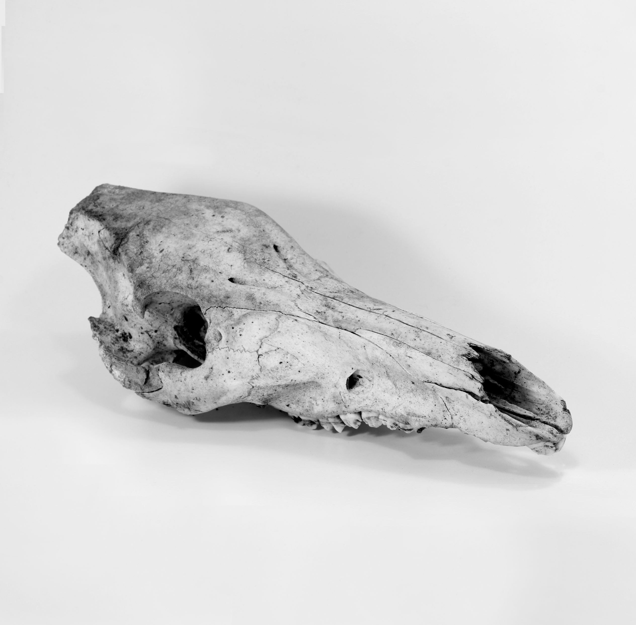 Wild boar skull. Photo: Art Pictures/Shutterstock