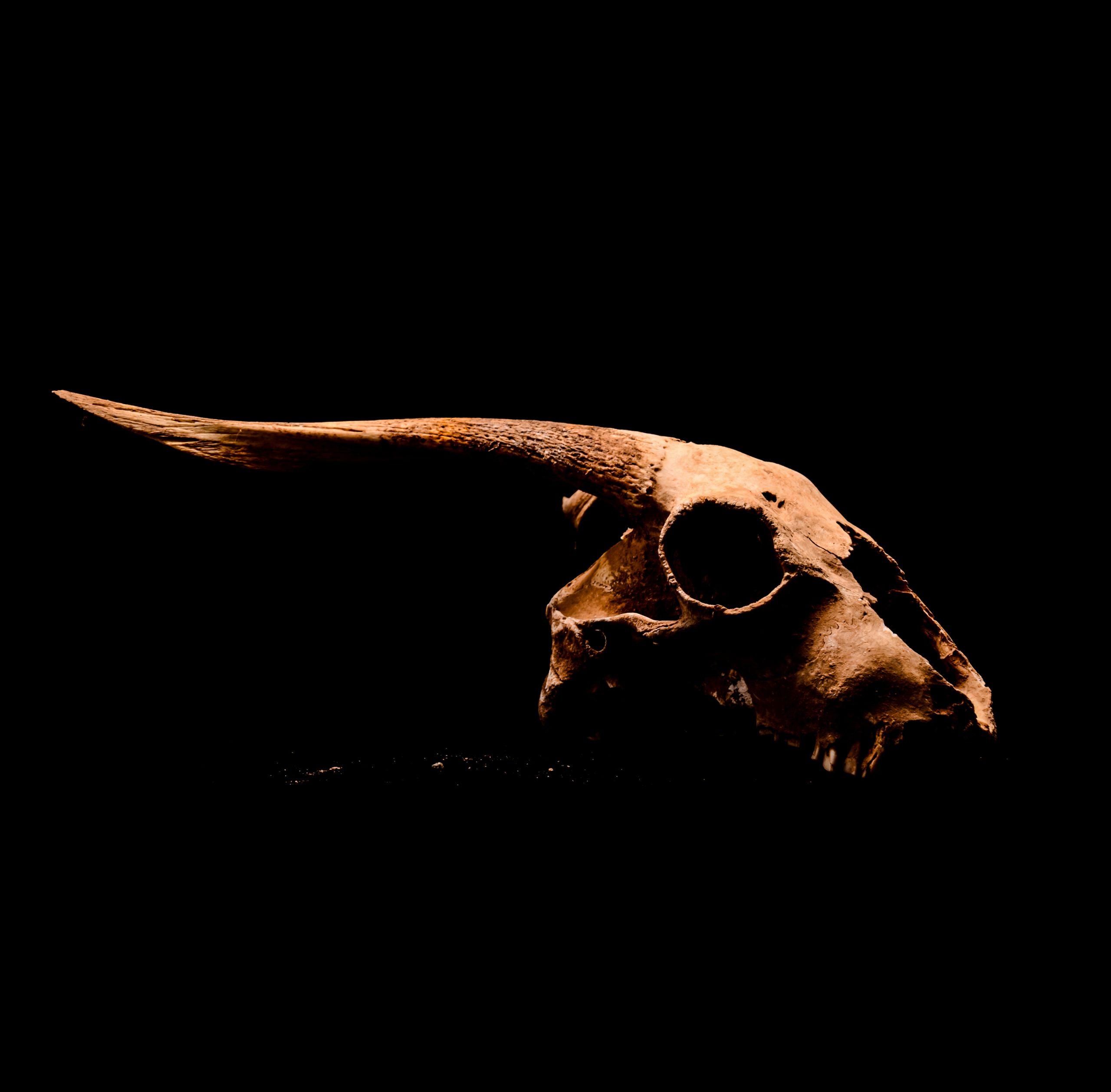 Goat skull on black background.