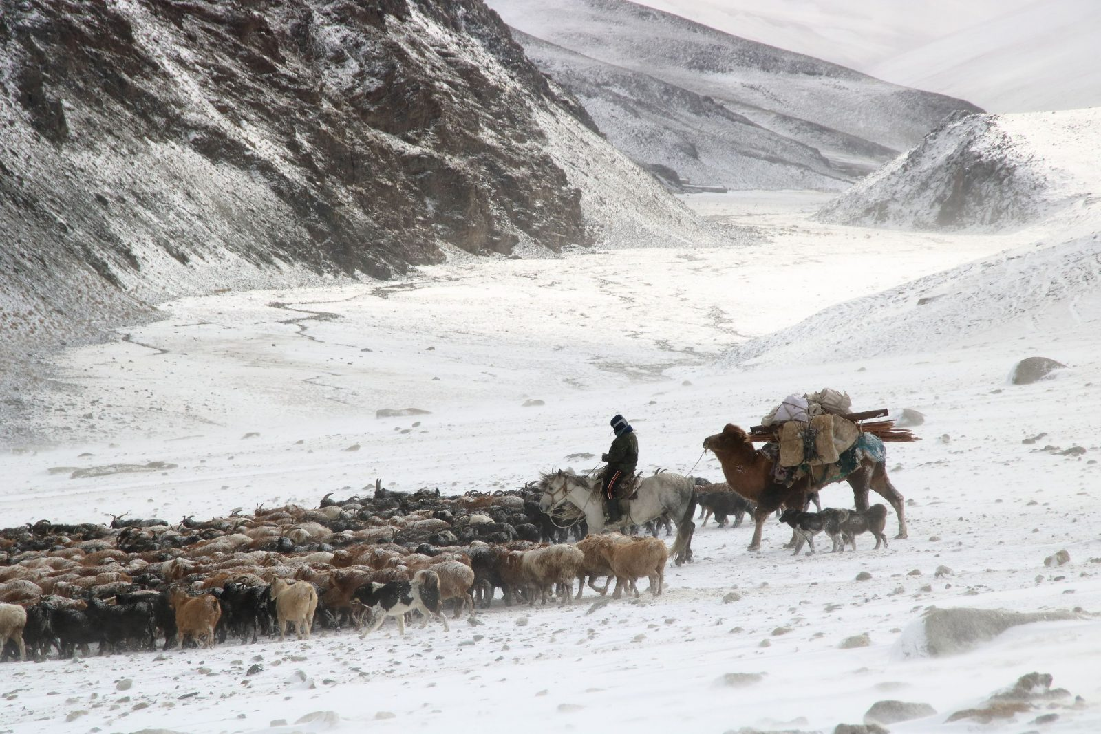 A herd of goats in the snow in Mongolia.