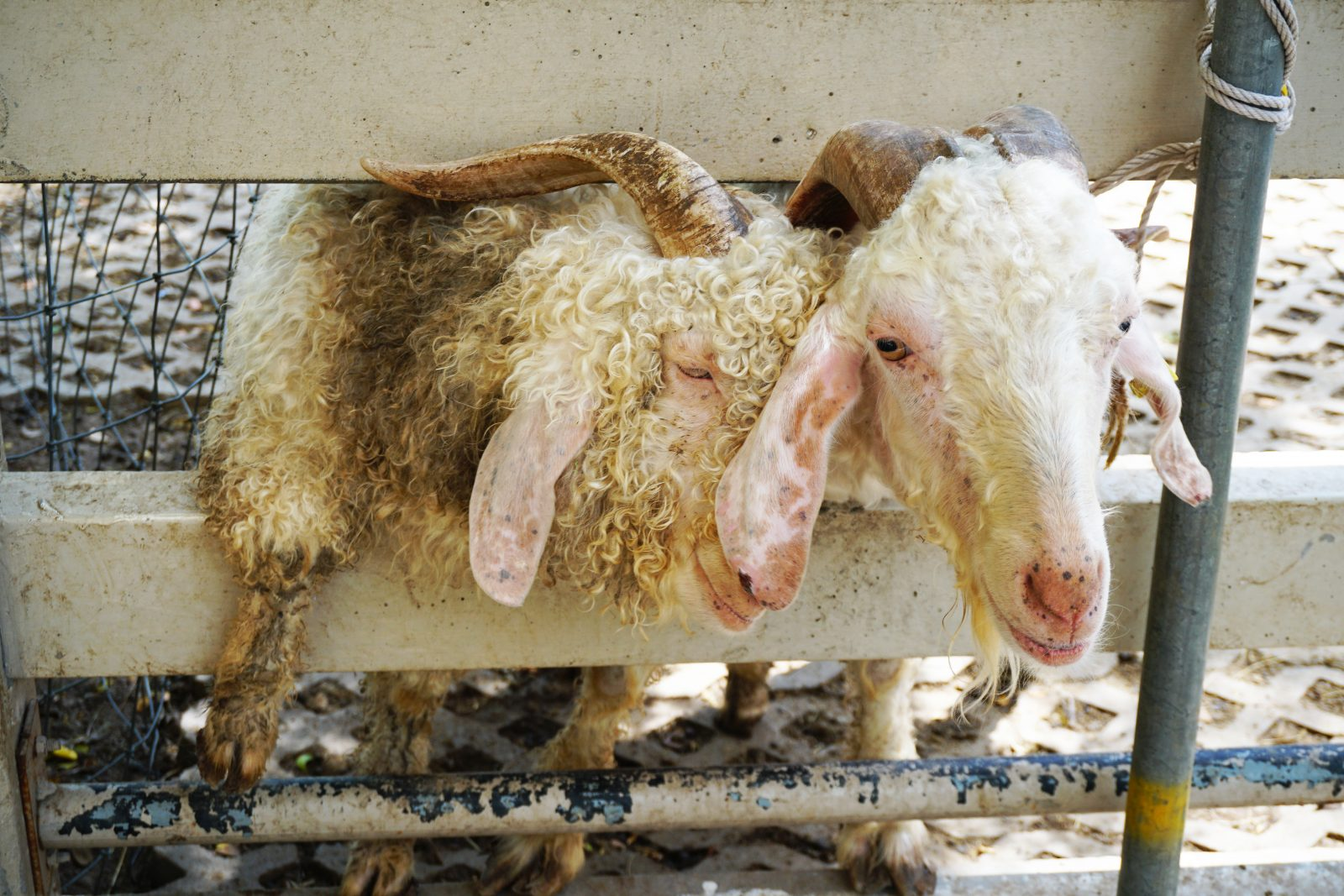 Two Angora goats behind a fence