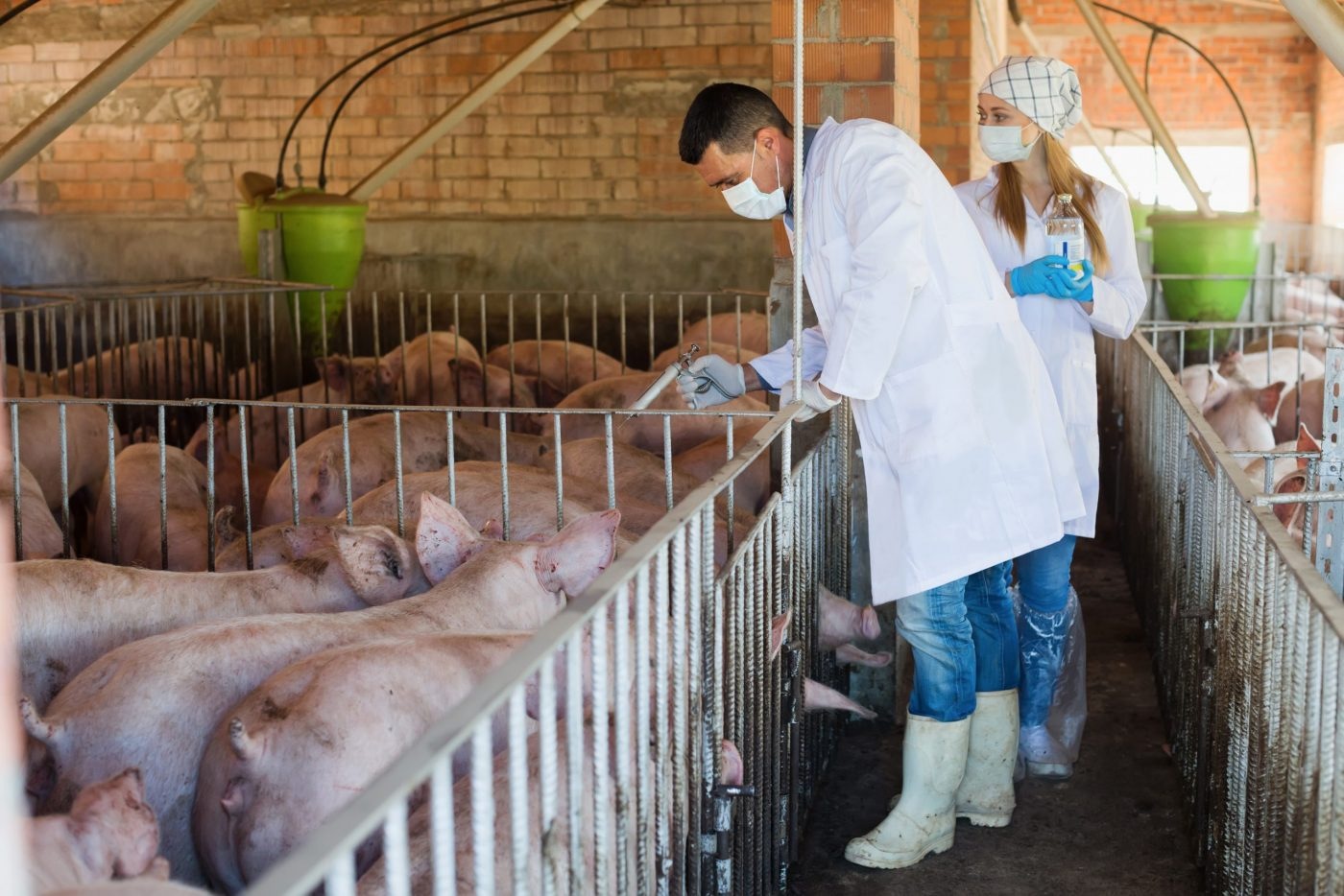 Vet giving drugs to factory pigs