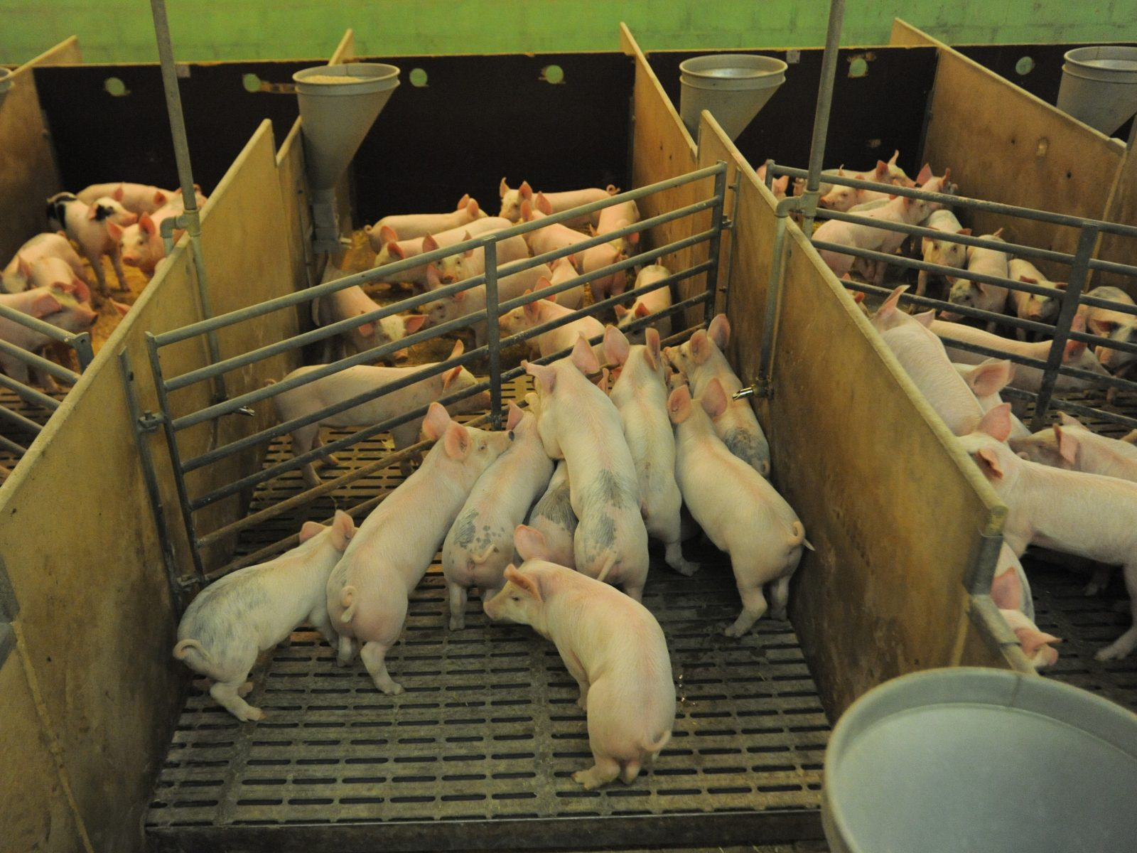 Young pigs crowd pens in Swedish factory farms