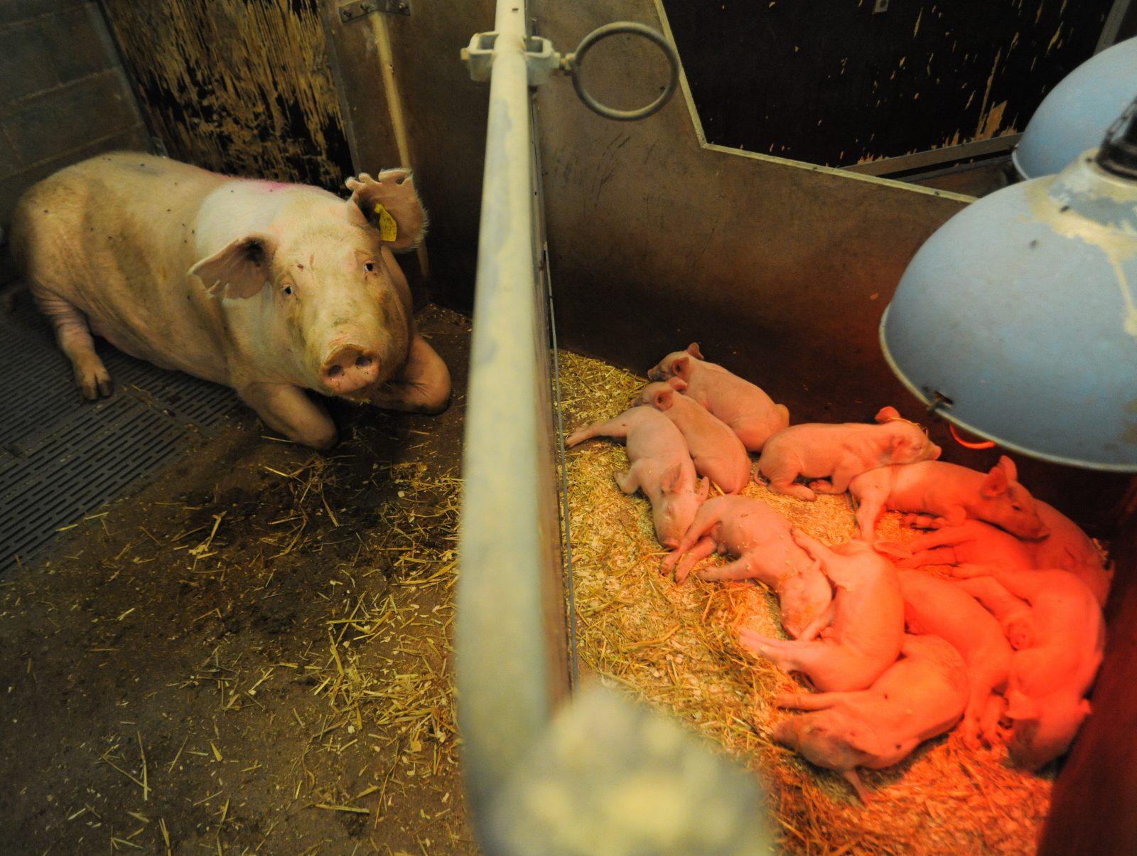 A sow lies separated from her piglets