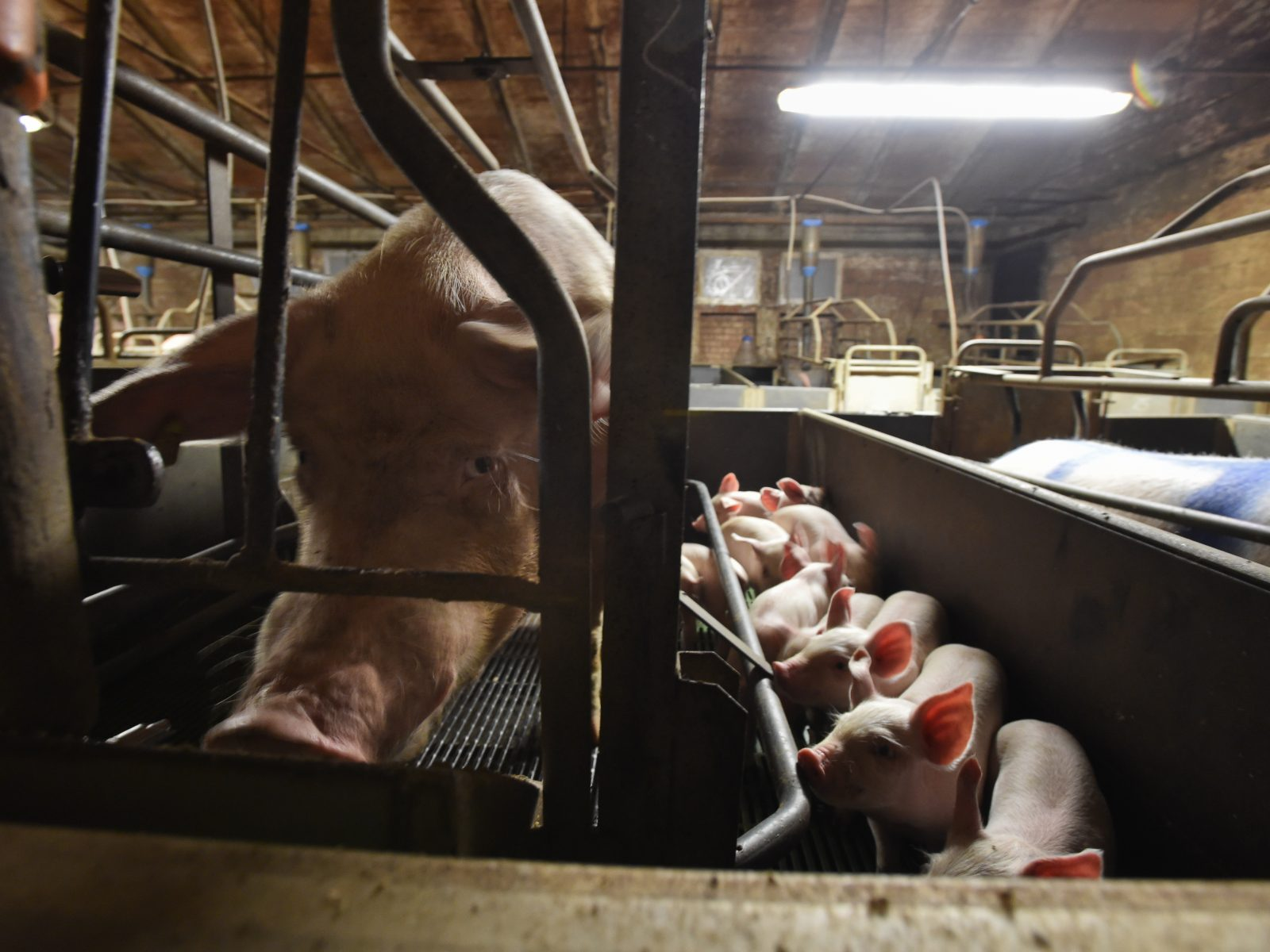 A sow and her litter, nursing inside a gestation crate in an Italian factory farm