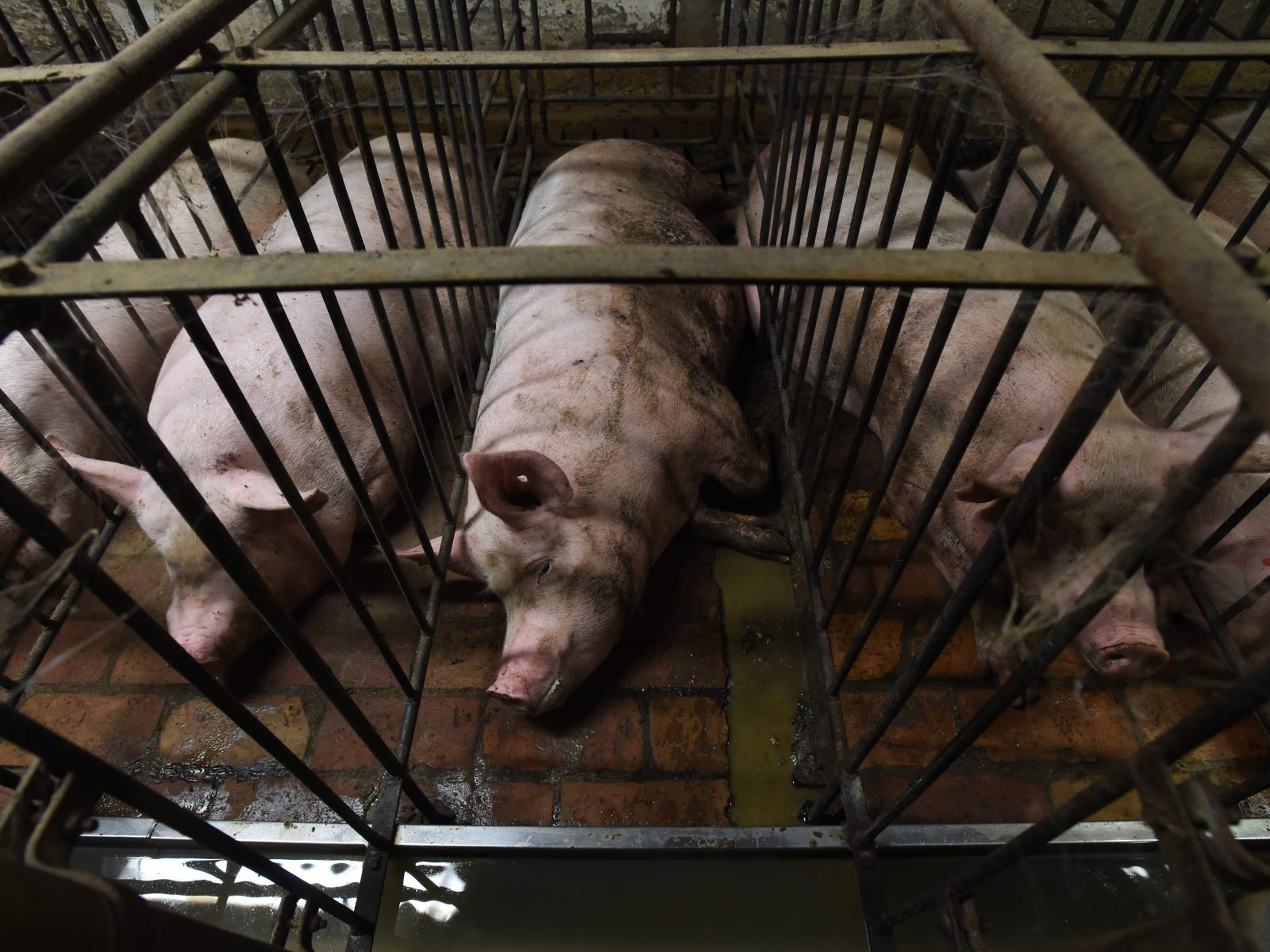 Line of pigs, confined and isolated by metal bars